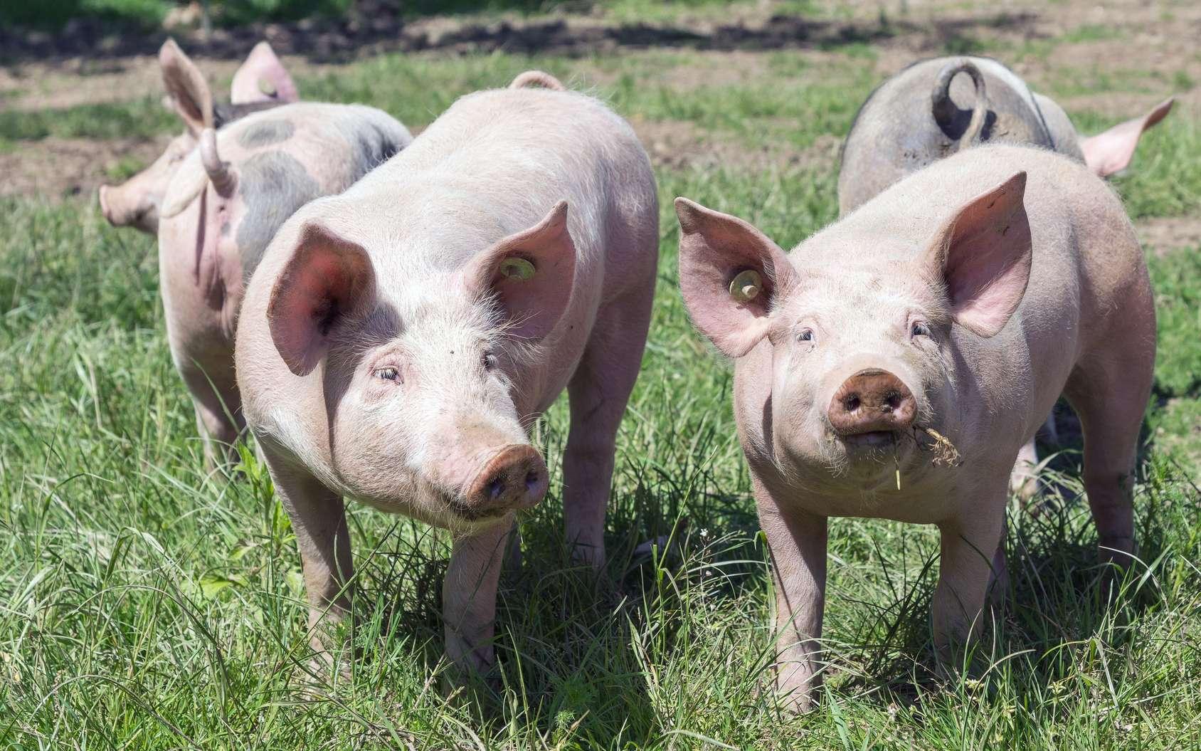 Alibaba compte révolutionner l'élevage porcin en Chine grâce à l'intelligence artificielle. © Sonja Birkelbach, Fotolia