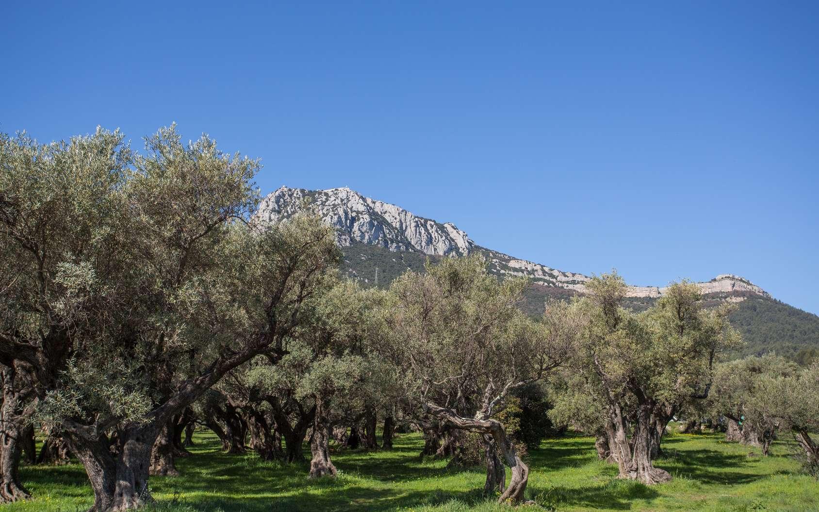 L'olivier est un arbre particulièrement adapté au climat méditerranéen. © philippe, fotolia