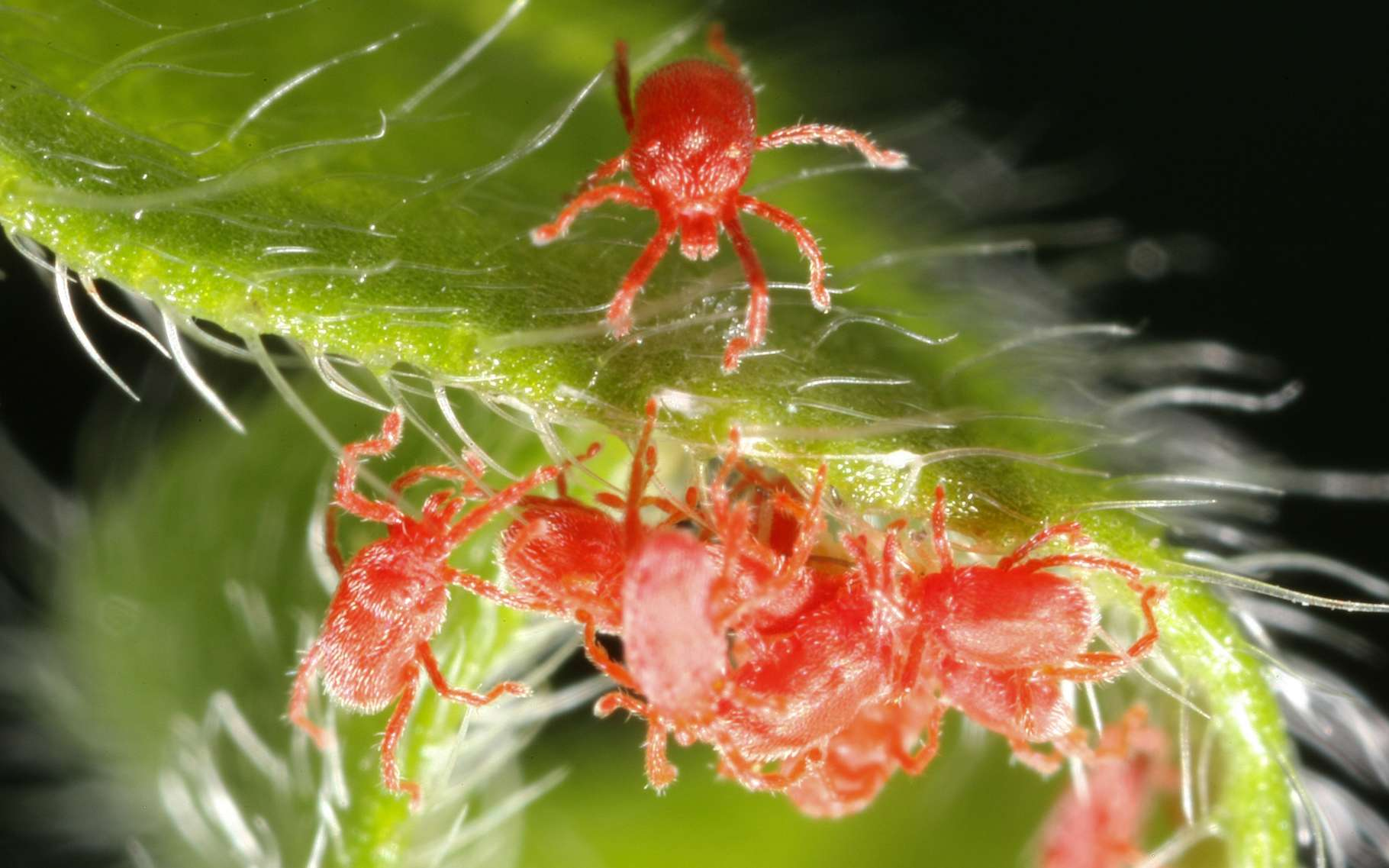 L'araignée rouge possède huit pattes et n'est donc pas un insecte (qui en a toujours six). On peut ainsi distinguer l'araignée rouge de la cochenille, autre parasite des végétaux. C'est un acarien, cousin des araignées. © chuc.de, Fotolia