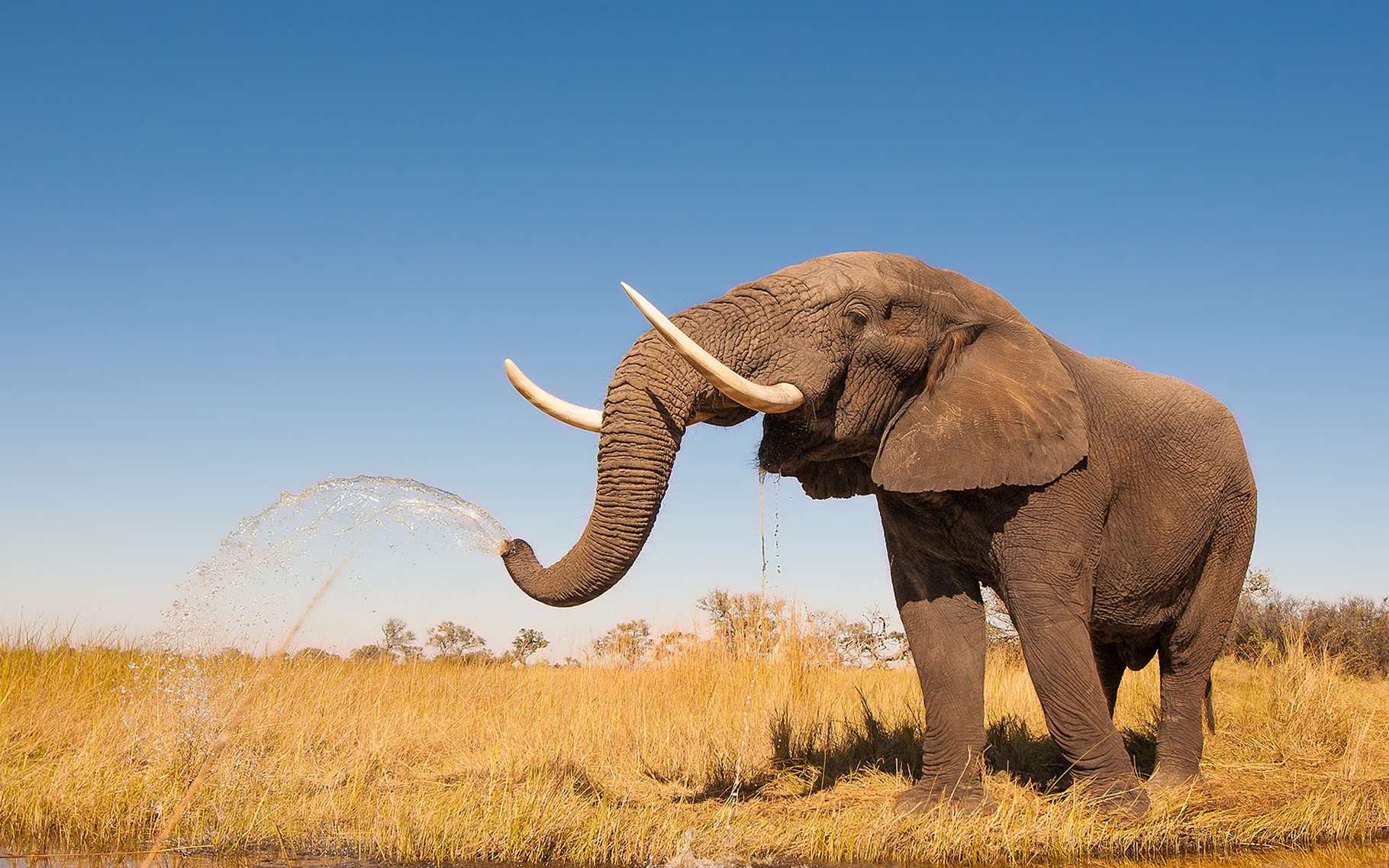 Trompe de l'éléphant : un éléphant, ça trompe énormément ...