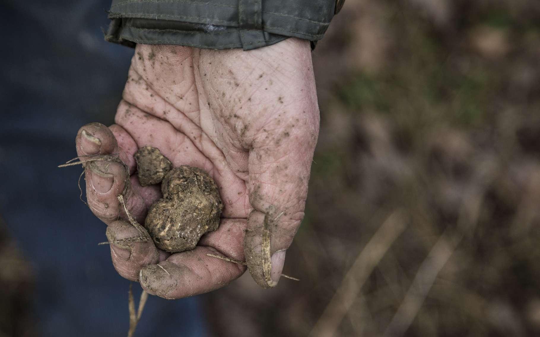 Les endroits dans lesquels poussent potentiellement des truffes sont connus. Mieux vaut malgré tout se faire aider pour réussir à en trouver. © Andrea, Fotolia