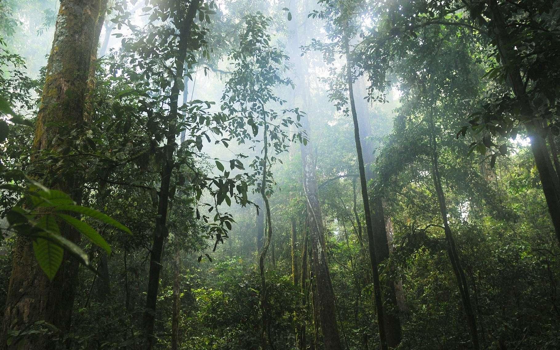 Les forêts tropicales primaires sont essentielles pour stocker le carbone et fournir un habitat aux jaguars, aux orangs-outans, aux gorilles et à tant d'autres animaux. Mais selon Global Forest Watch, elles sont en net recul. © stokpic, Pixabay License