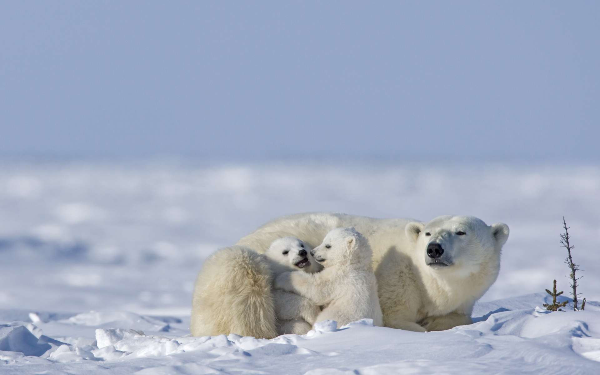 Le manque de nourriture, la perte de leur habitat, la présence humaine poussent les ours au cannibalisme, phénomène qui augmente dans l'Arctique russe. © Aussieanouk, Adobe Stock