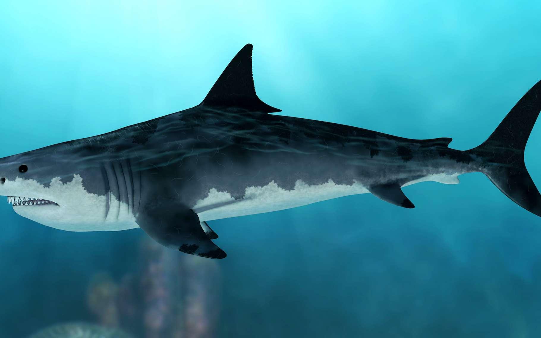 Des paléontologues de l'université de Bristol (Royaume-Uni) ont travaillé sur la morphologie du mégalodon, ce requin géant préhistorique aujourd'hui disparu. © rapack223, Adobe Stock