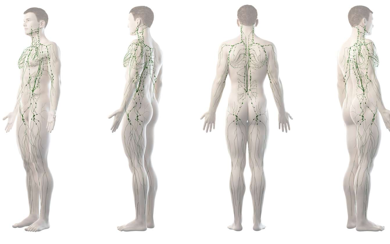 Le système lymphatique transporte la lymphe. © Sebastian Kaulitzki, Fotolia