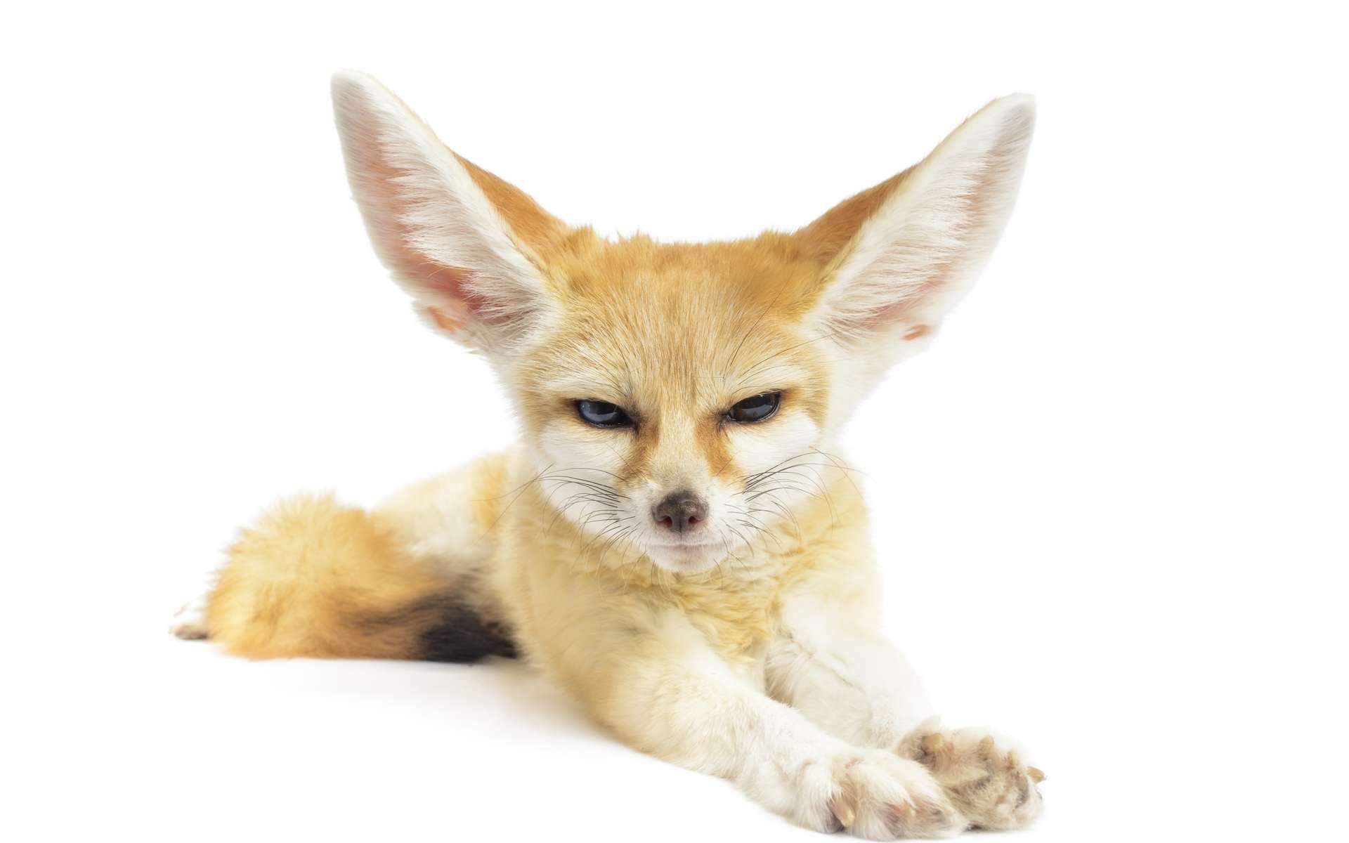 Les grands oreilles du fennec lui permettent de dissiper efficacement la chaleur. © Eastman Arts, Adobe Stock