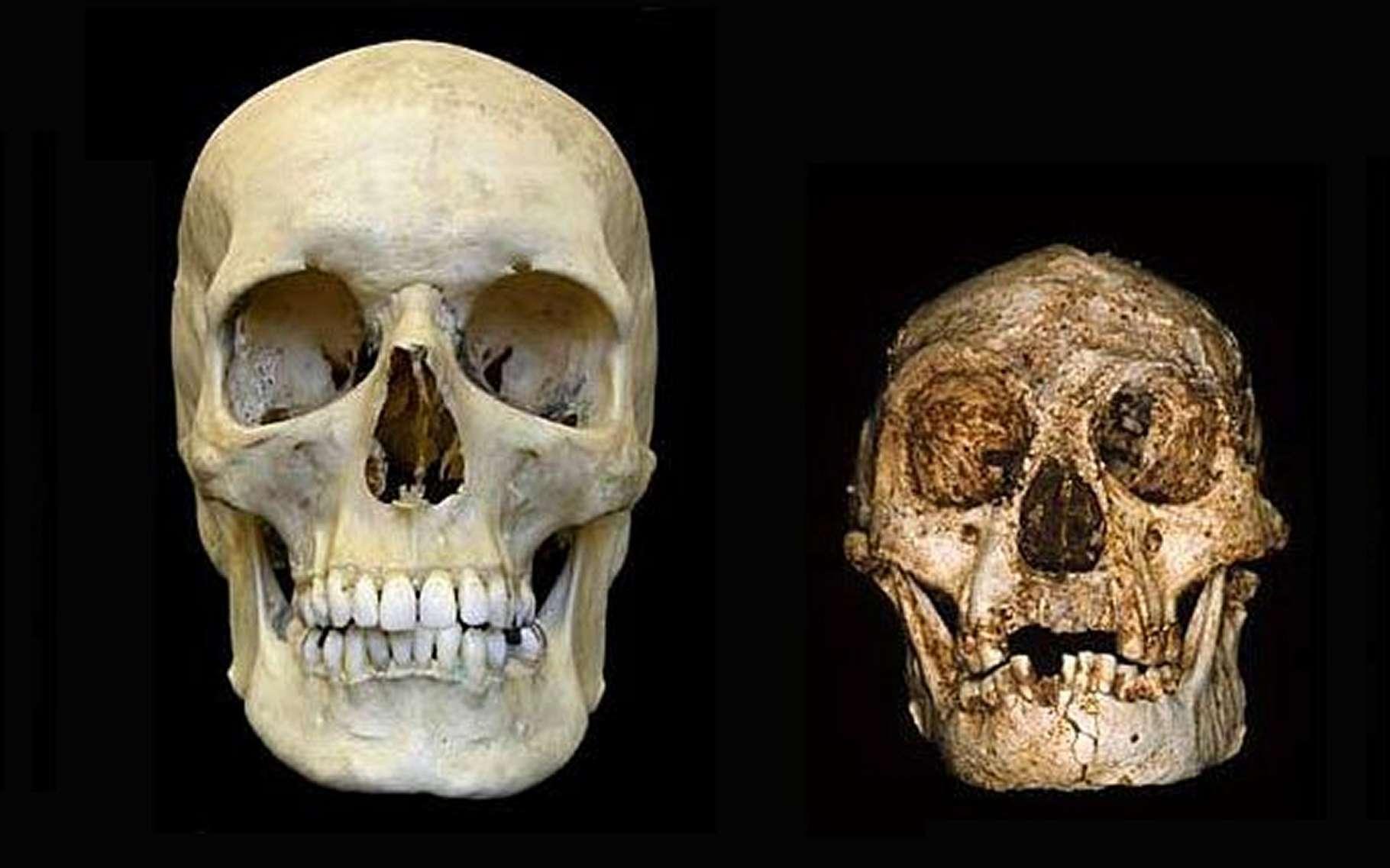 Le crâne d'un Homme moderne (à gauche), comparé à celui de l'Homme de Florès (à droite). La dimension de ce dernier est étonnamment petite. Pourtant, cet être fabriquait des outils et ses ancêtres directs, on vient de le comprendre, vivaient déjà il y a 700.000 ans. © Peter Brown