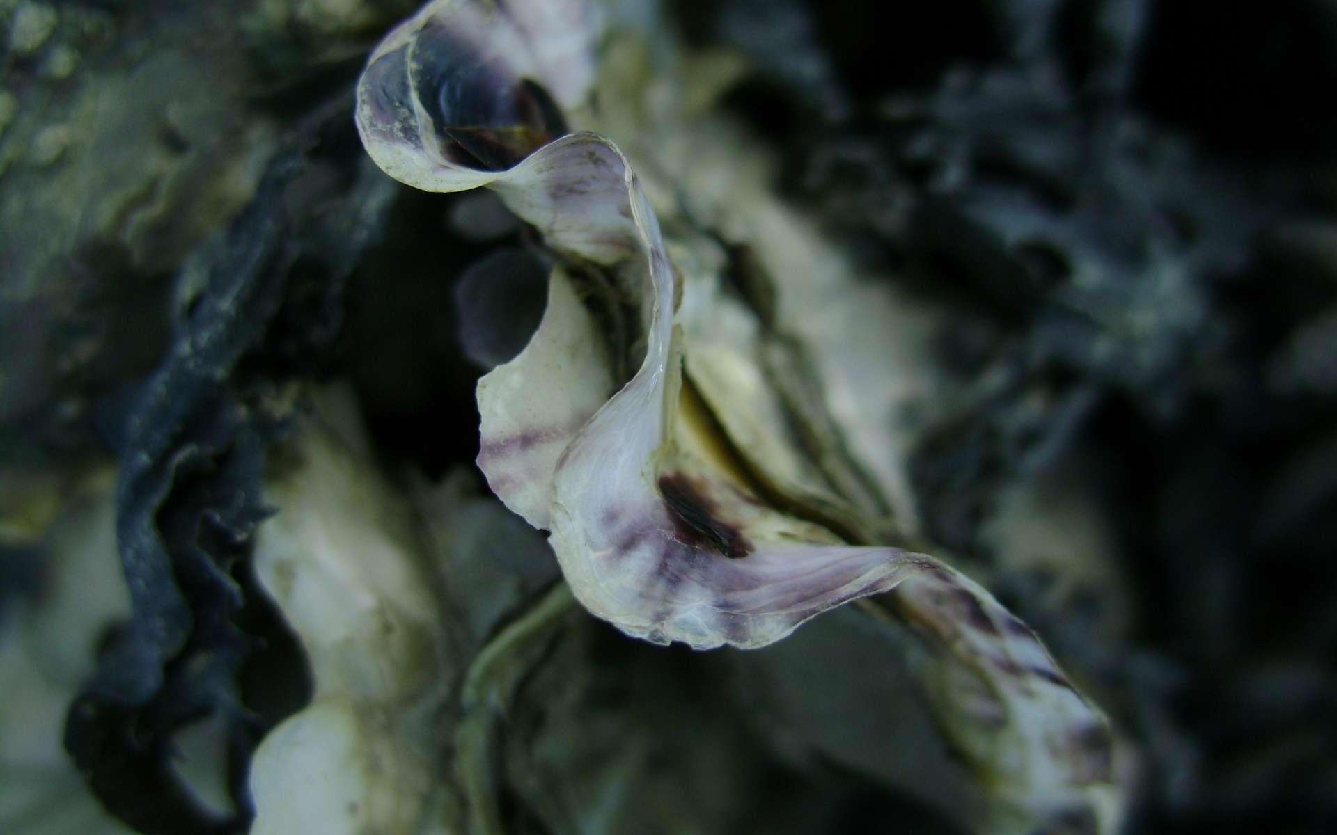 Une jeune huître du Pacifique. © Gilbert Le Moigne, Wikimedia Commons
