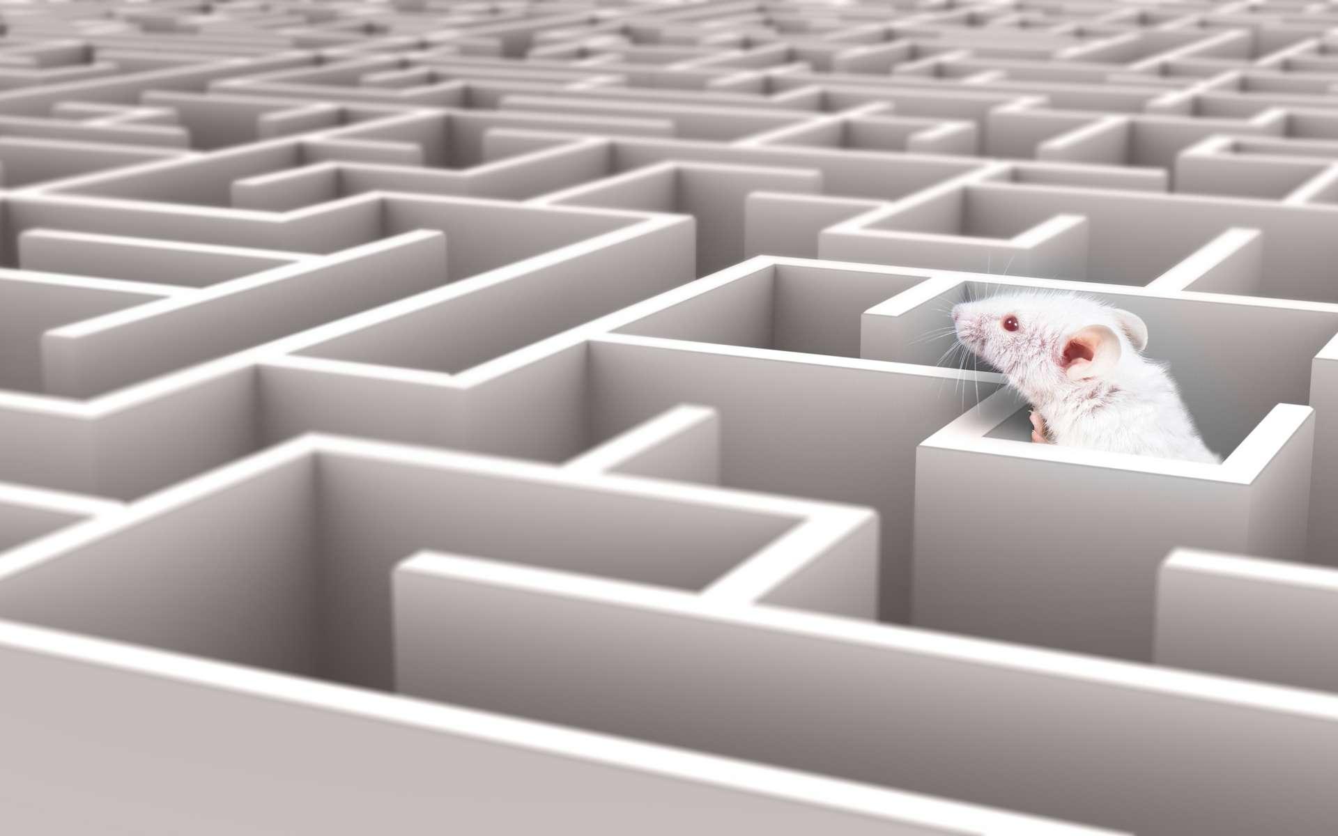 La souris Algernon doit trouver la sortie de labyrinthes de plus en plus perfectionnés. © neillockhart, Adobe Stock
