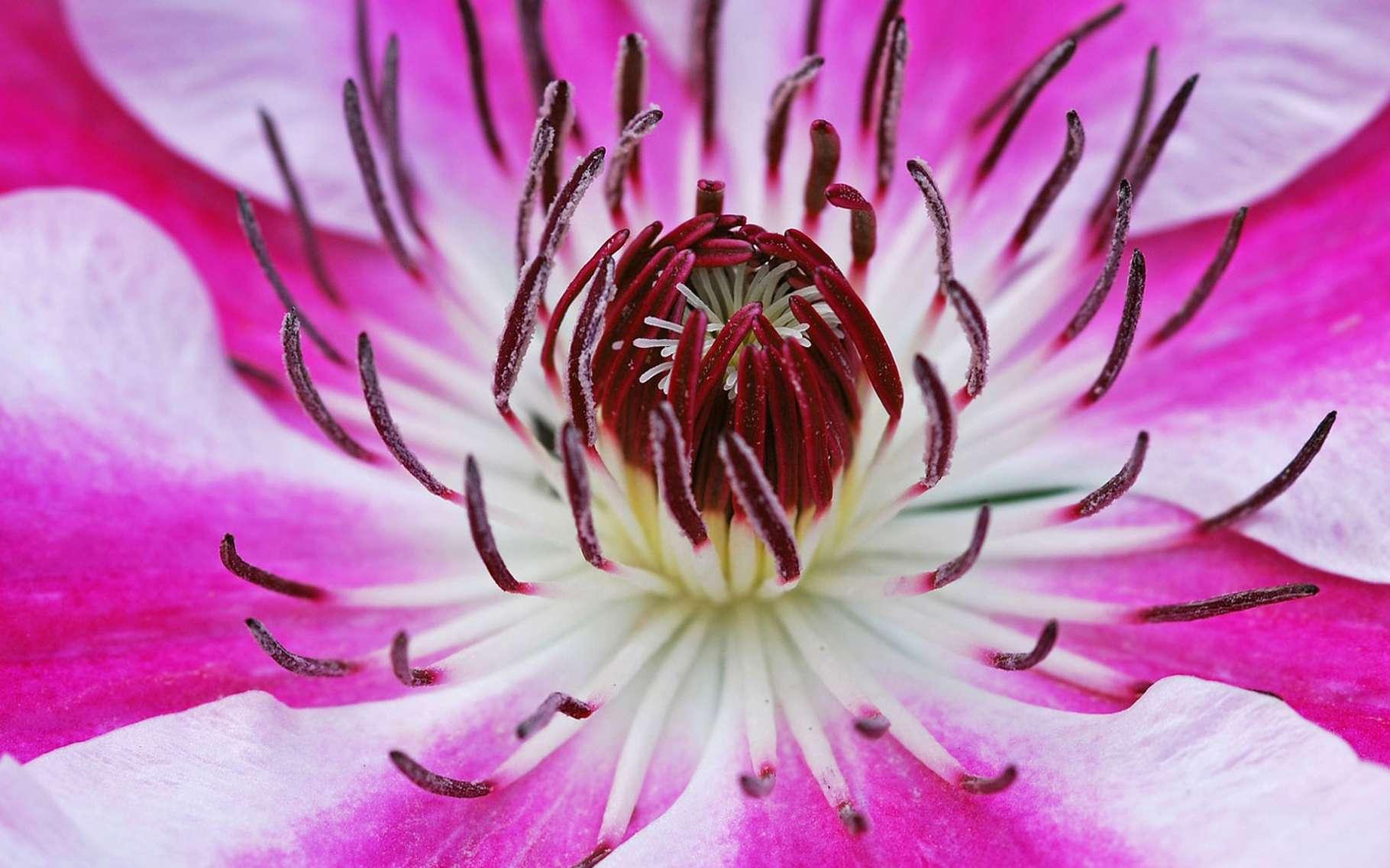 La clématite aux mille couleurs. © Albenheim, Pixabay, DP