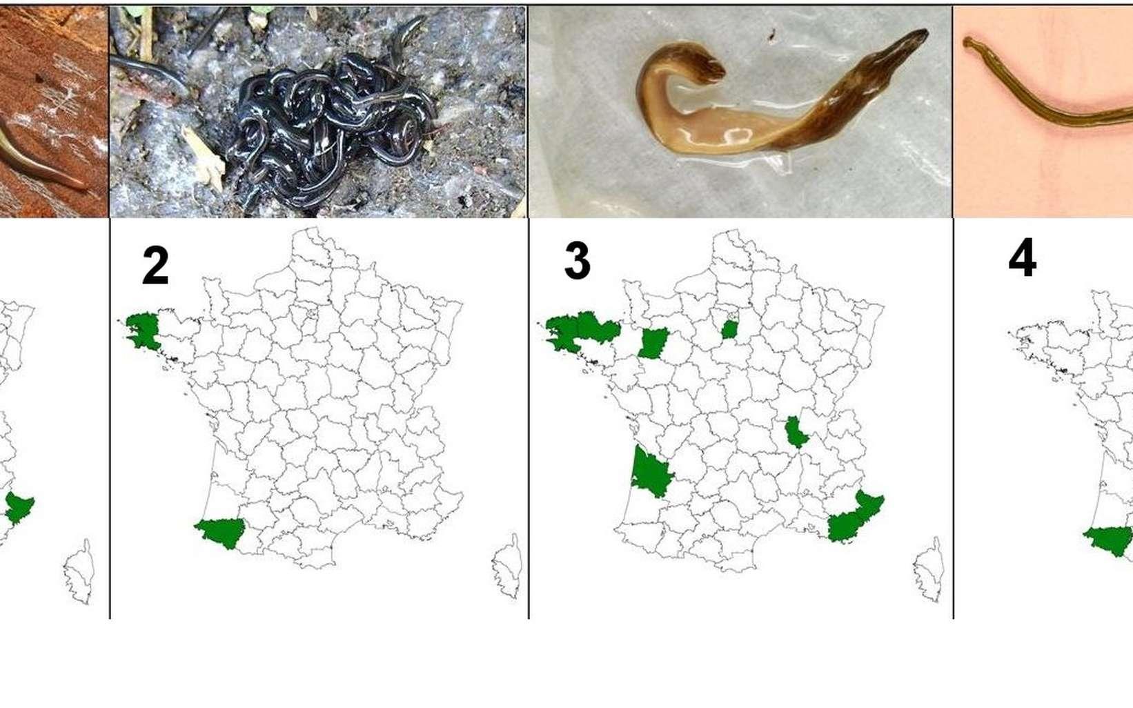 La carte des observations de plathelminthes invasifs, établie le 2 octobre 2013 par Jean-Lou Justine pour les quatre espèces actuellement repérées et numérotées ici de 1 à 4. Deux ont pu être formellement identifiées : Kontikia ventrolineata (2), de couleur noire avec une discrète ligne claire sur le dos, observée dans le Finistère et dans les Pyrénées-Atlantiques, et Bipalium kewense (4), au corps plus long et fin, dans les Pyrénées. © Jean-Lou Justine