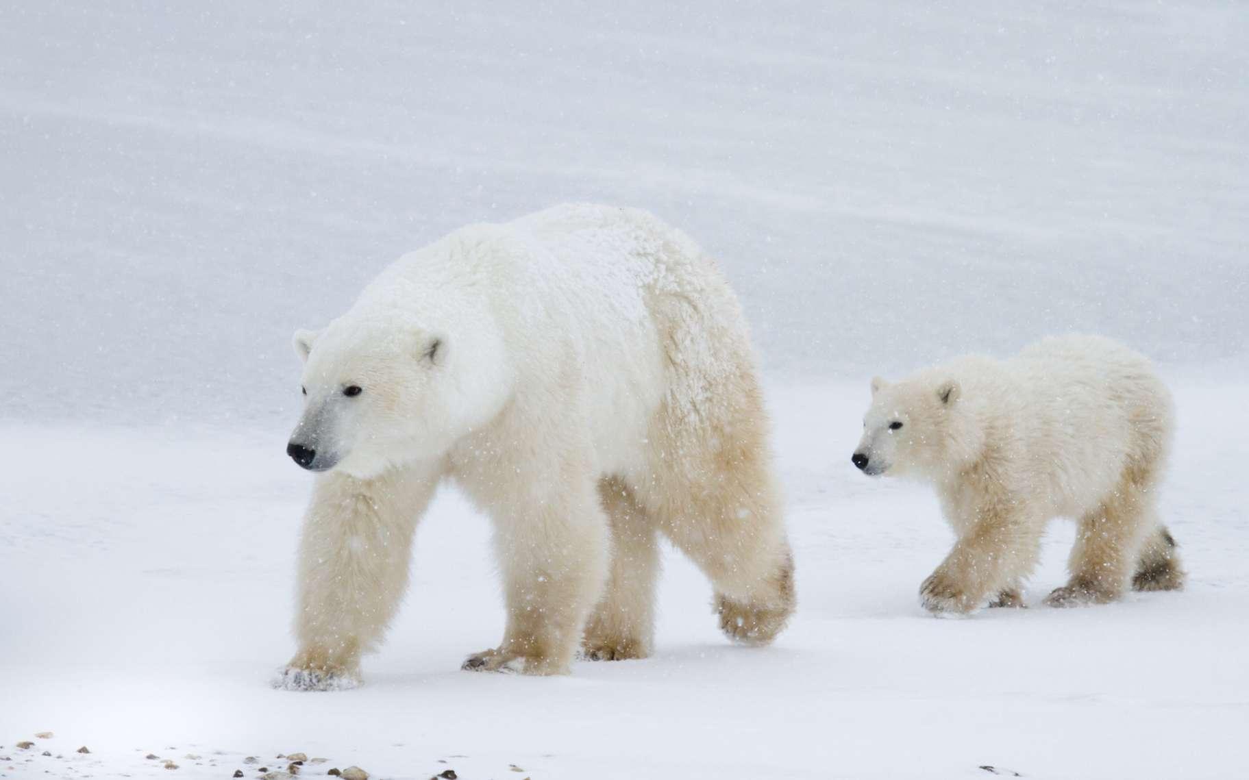 L'ours polaire est l'un des symboles de l'Arctique. Il est absent de l'Antarctique. © sbthegreenman, fotolia