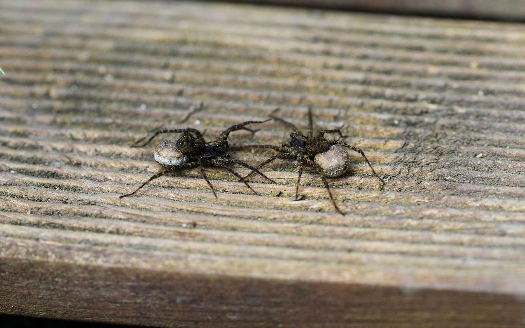 Des chercheurs de l'Université de Cincinnati affirment que les araignées de nos jardins sont douées de personnalités propres. © PollyDot, Pixabay, CC0 Public Domain