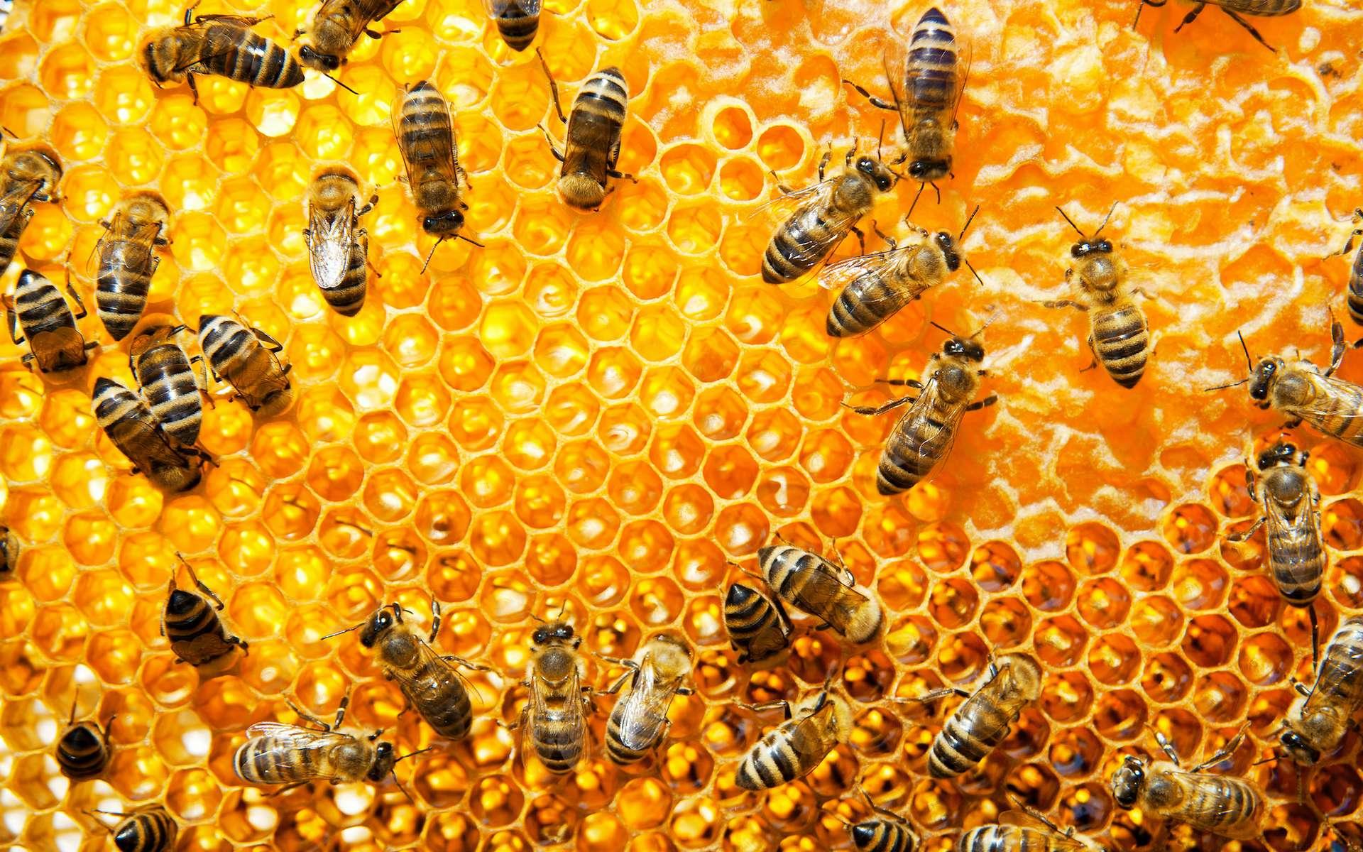 La propolis est sécrétée par les abeilles à partir de matières résineuses. © Alexstar, Adobe Stock