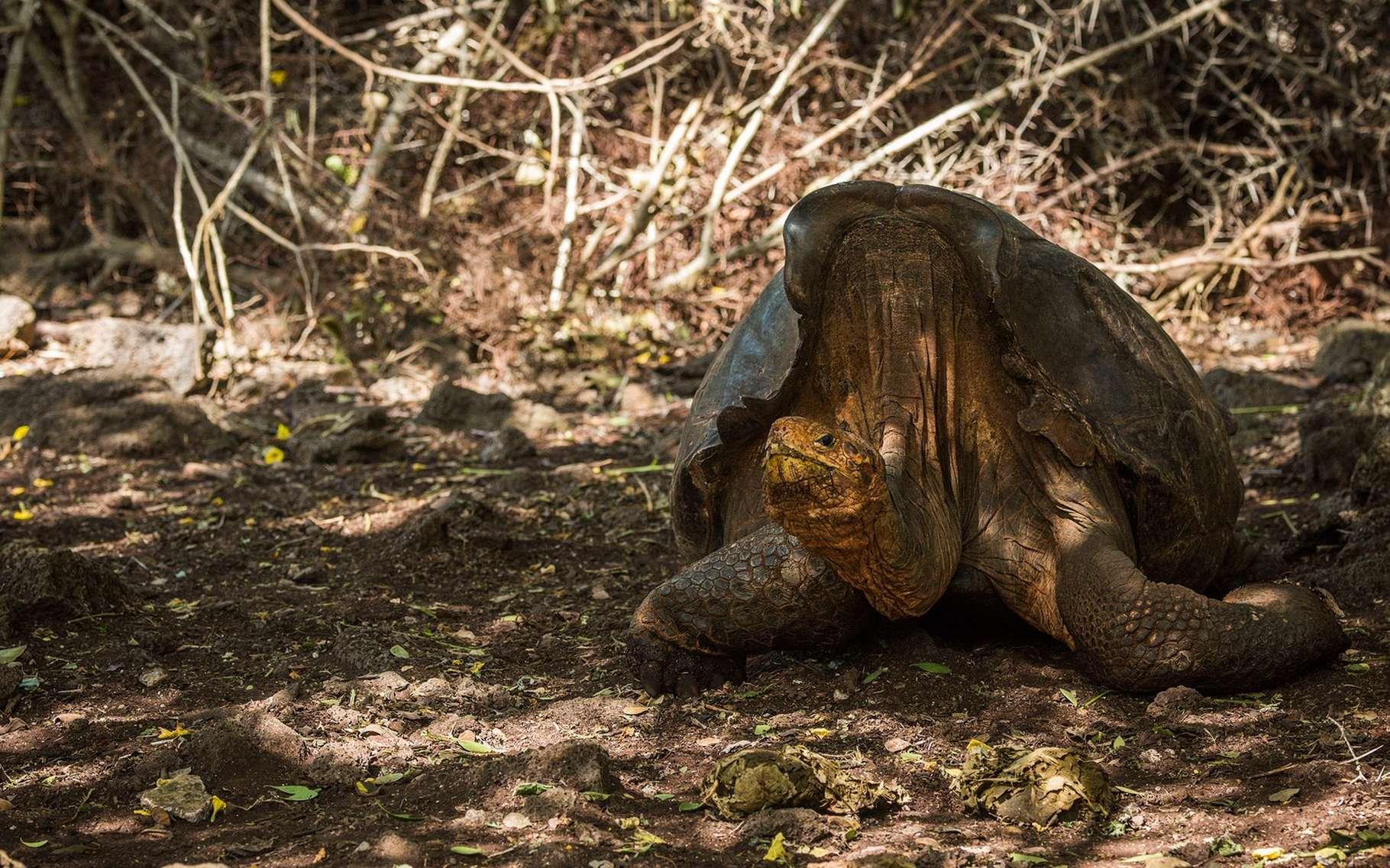 Grâce à Super Diego, une tortue géante des Galápagos, son espèce n'est plus en voie d'extinction. © Nick Dale, Shutterstock