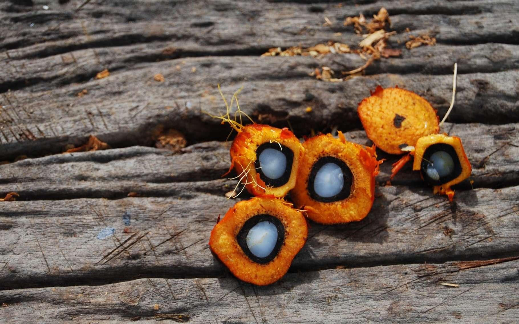 Selon des chercheurs américains, il serait impossible de produire de l'huile de palme de manière durable. Du moins, tant que la demande se maintient à un niveau élevé. © Orienterungslust, Pixabay, CC0 Creative Commons