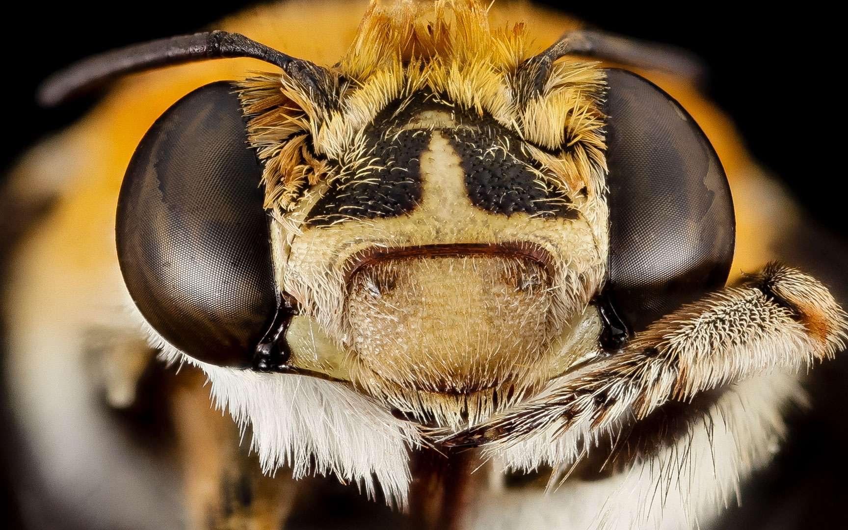 Tête d'une abeille Amegilla (Afrique du Sud). © USGS Bee Inventory and Monitoring Lab, CC by 2.0