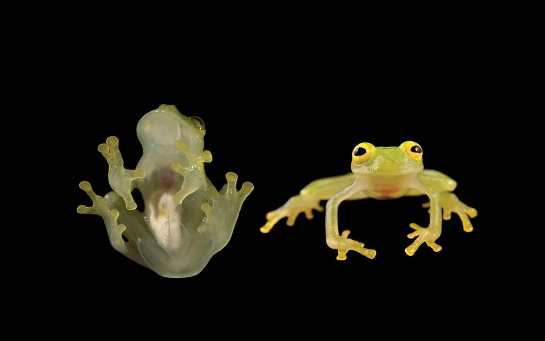 La grenouille Hyalinobatrachium yaku est si translucide qu'on peut voir ses organes. © L. A. Coloma, Zookeys