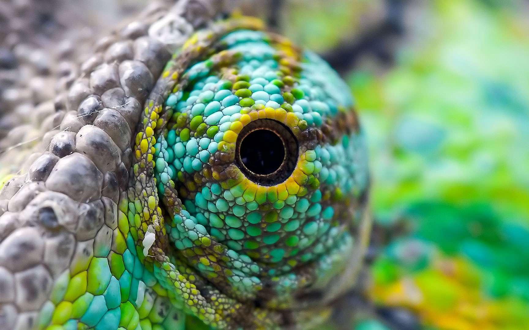 L'œil protubérant du caméléon. Les yeux du caméléon peuvent bouger indépendamment l'un de l'autre. Ce reptile est capable de voir deux images distinctes car les informations visuelles provenant de chaque œil ne se rencontrent pas dans son cerveau. © kaibara87, Flickr, CC by 2.0