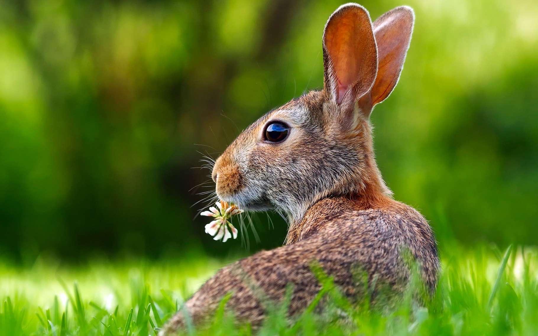 Comment reconnaître un lièvre d'un lapin ? Ce sont notamment leurs oreilles qui permettent de les différencier. © tpsdave, Pixabay, DP