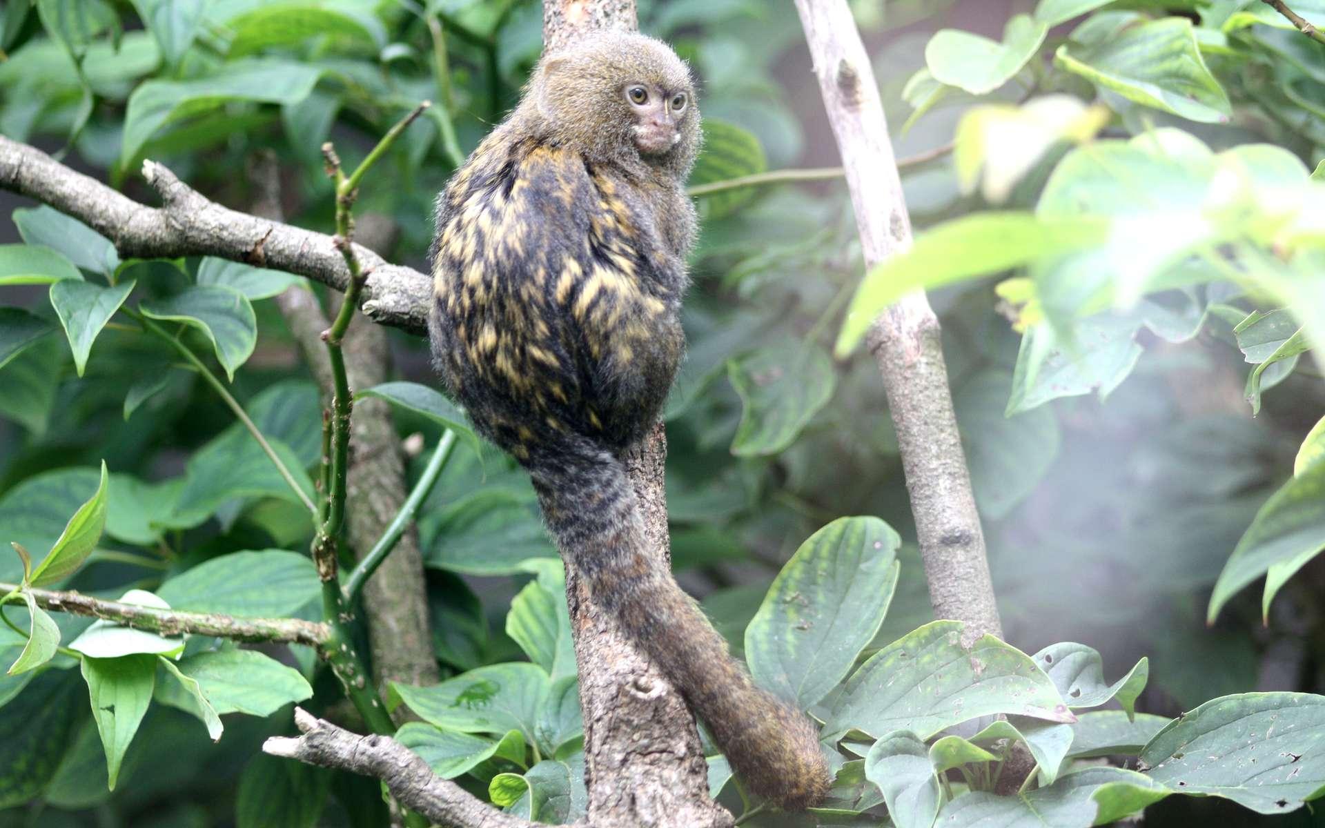 Le ouistiti pygmée est également appelé marmouset par les Anglais. © Patrick Straub