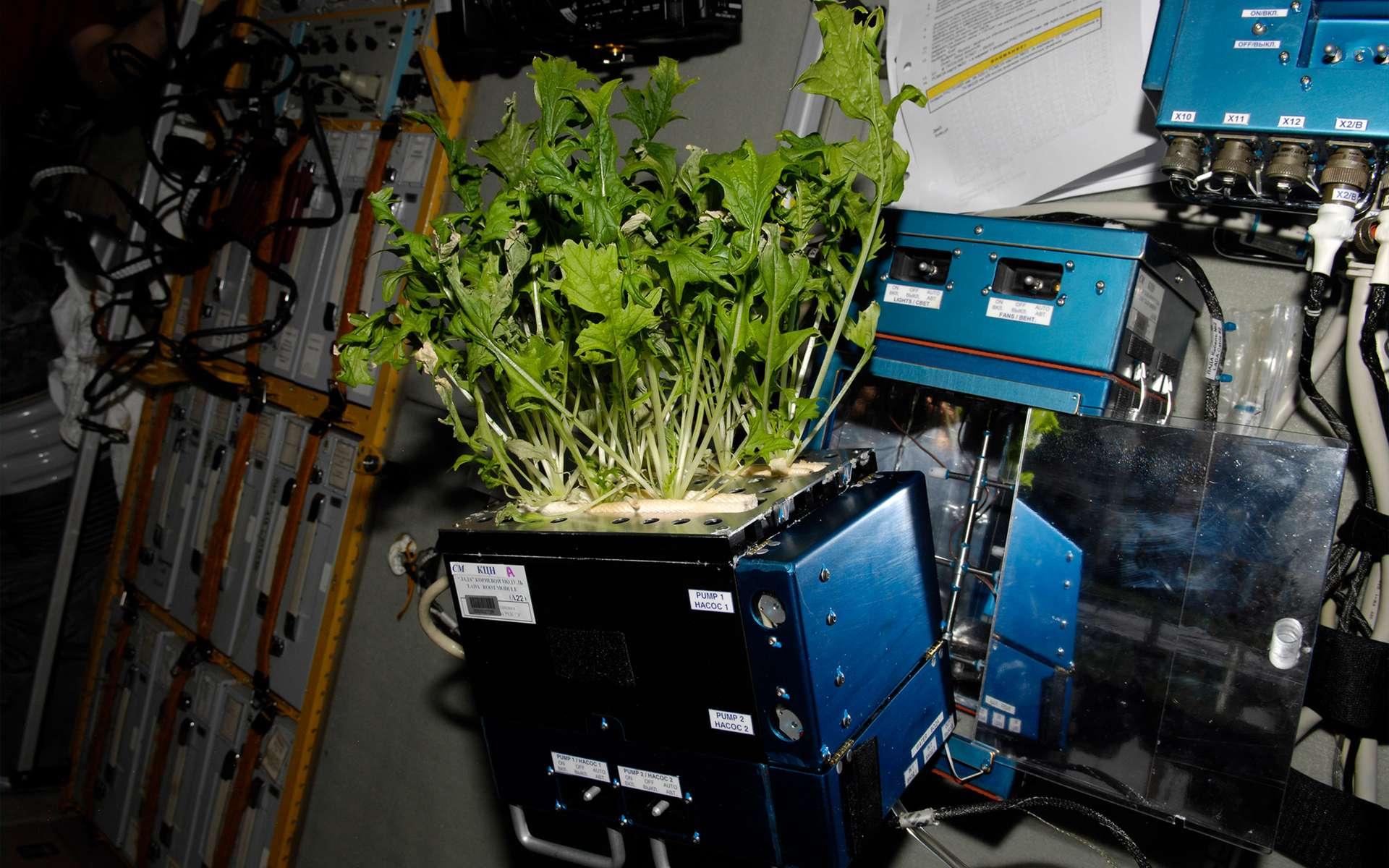 À bord de la Station spatiale, les astronautes ont déjà cultivé dans une serre des salades qu'ils ont ensuite mangées après s'être assurés qu'elles ne présentaient pas de risque pour leur santé. © Nasa