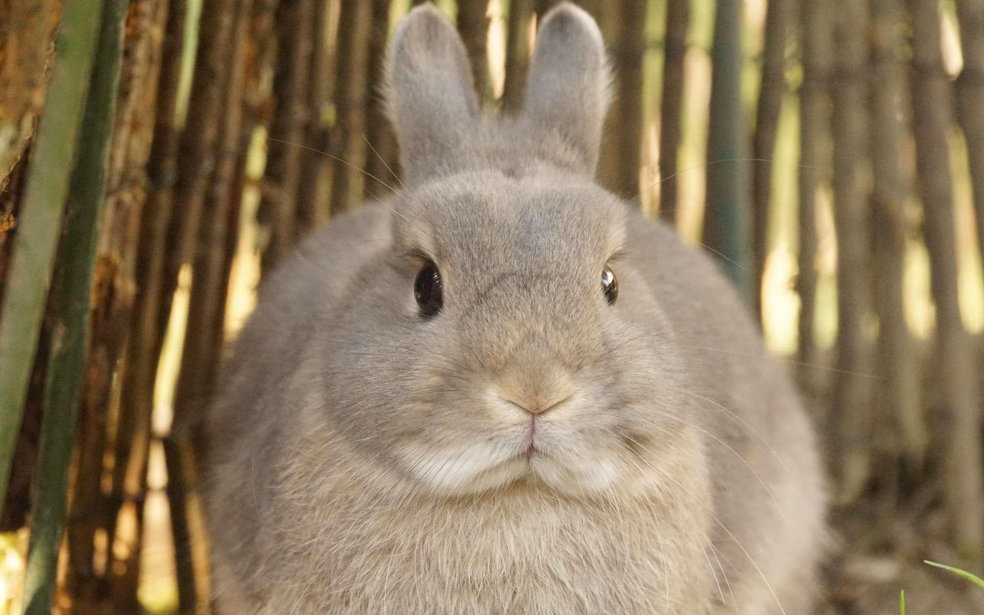 Pourquoi les lapins n'ont-ils que très peu grossi au cours de leur évolution ? © Tjflex2, Flickr