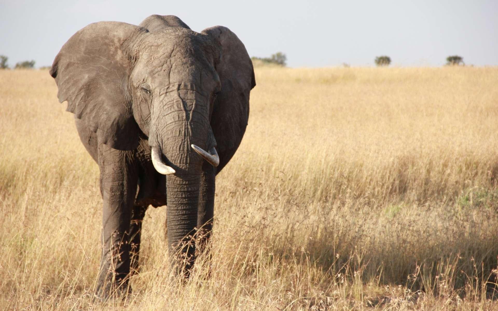 Les éléphants d'Afrique figurent parmi les animaux sauvages menacés d'extinction. Malgré les efforts de conservation, ils sont encore trop souvent massacrés par les braconniers pour leur ivoire. © PxHere