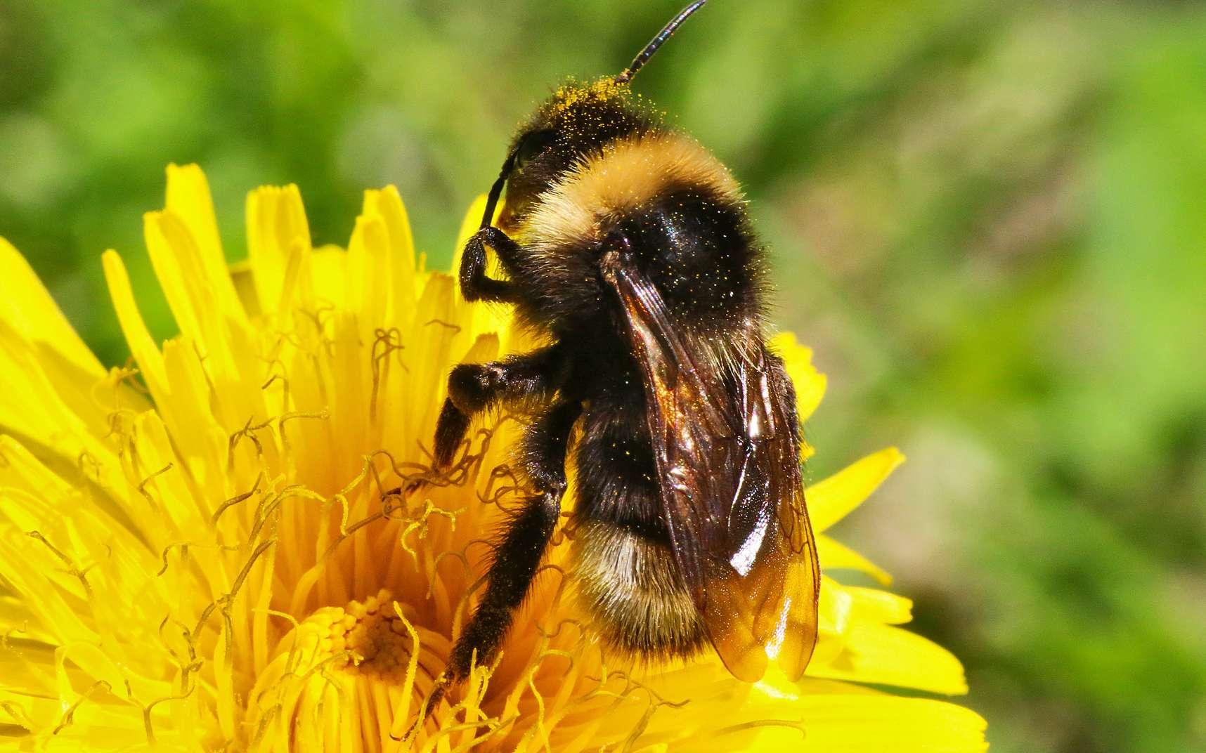 Les bourdons, du genre Bombus, sont de la même famille que les abeilles, mais sont plus trapus et plus poilus. Le terme « bourdon » est masculin, mais il existe bel et bien un bourdon reine et des ouvrières. © Sergey, fotolia