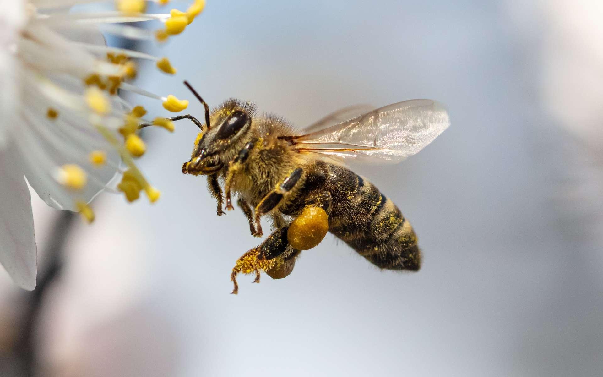 Apis mellifera, littéralement « abeille qui donne du miel » est massivement élevée en Europe. © Schankz, Adobe Stock