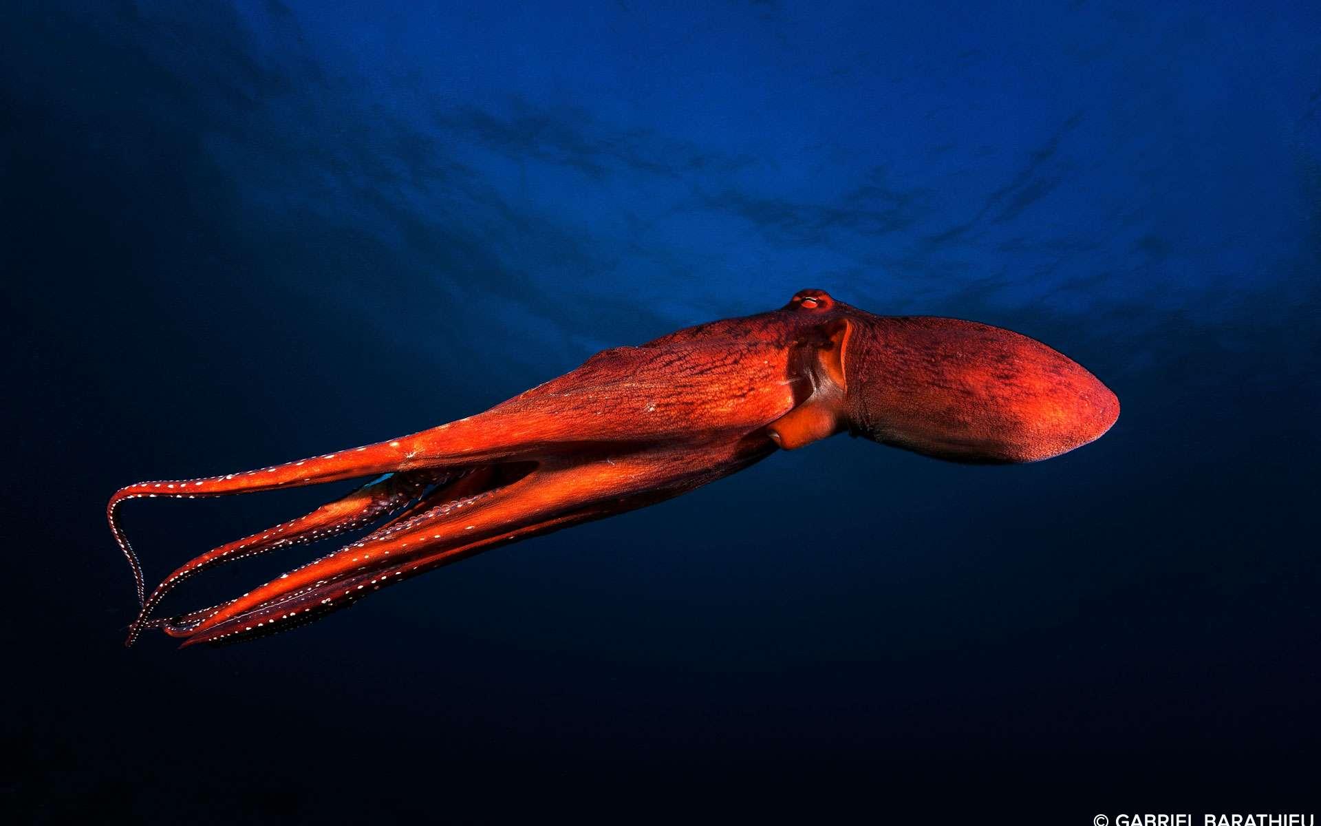 « Une pieuvre (autrement appelé poulpe ou Zourite à la Réunion) nageant en pleine eau certainement pour fuir un prédateur ». © Gabriel Barathieu, tous droits réservésQuelle allure aérodynamique ! Le photographe a figé ce mouvement dont on peut ressentir la propulsion et l'élan salvateur. Bien que ce poulpe soit aussi un prédateur, chassant à l'affût et attrapant ses proies avec ses tentacules et les déguste avec son bec corné, la gourmandise humaine est aussi redoutable pour ce céphalopode qui est en effet très apprécié dans la cuisine malgache et réunionnaise. Son terrier, des anfractuosités rocheuses, se reconnaît aux déchets qu'il laisse à l'entrée. Il vit dans les eaux chaudes. Doté de facultés d'homochromie, ce poulpe tacheté possède un don de camouflage étonnant mais pour l'heure, il s'est fait bien visible pour notre photographe.