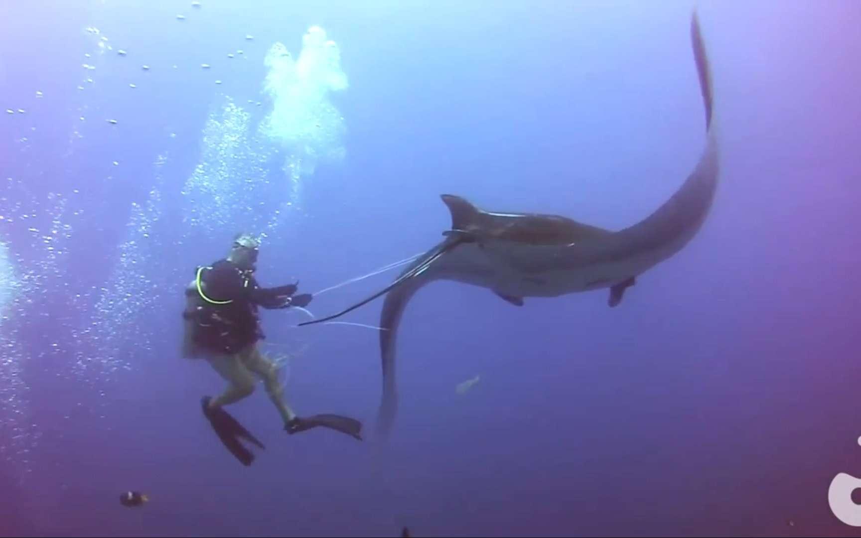 Un plongeur s'affaire pour retirer une ligne de pêche enroulée autour d'une raie manta. © oceanovideosub@gmail.com