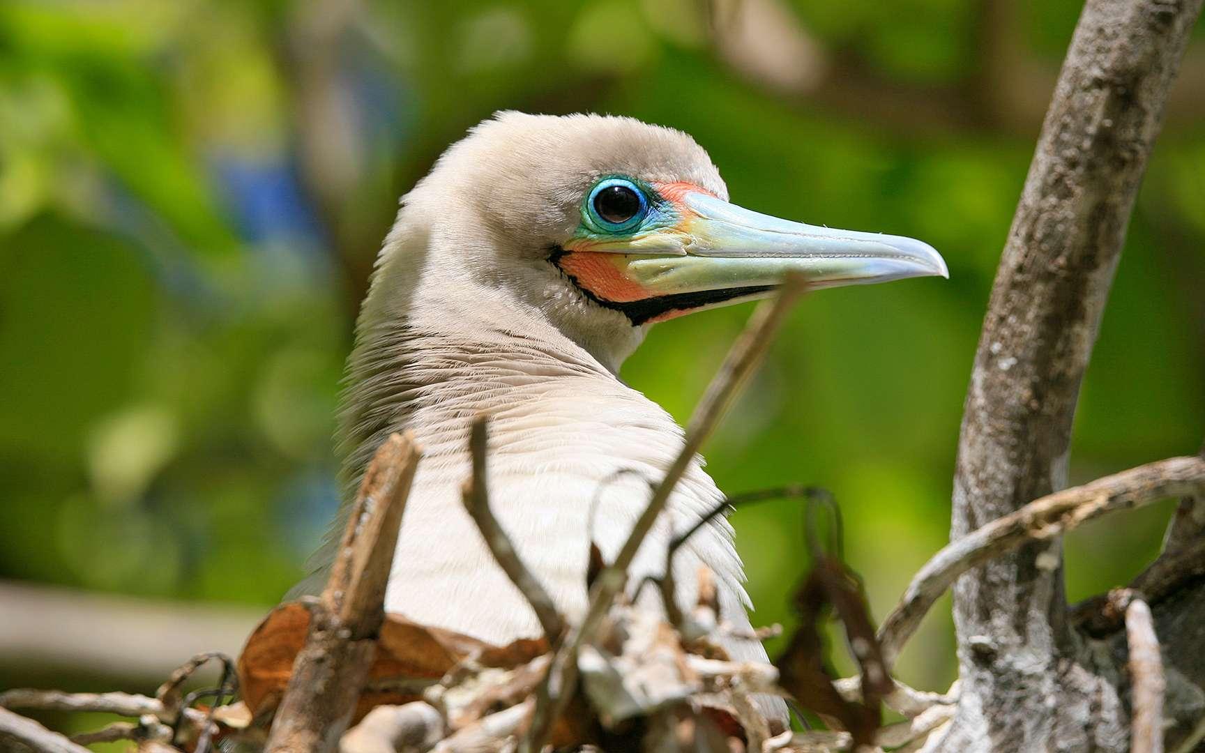 Fou à pieds rouges. Fou à pieds rouges Cette espèce niche sur les îles et les côtes océaniques tropicales. Elle hiverne en mer, et il est donc rare de l'observer loin des sites de reproduction, où les individus se rassemblent en grandes colonies. L'œuf unique, de couleur bleu pâle, est pondu dans un nid de branchages sur un arbre. Il est couvé par les deux parents pendant 44 à 46 jours. Le jeune oiseau peut attendre jusqu'à trois mois avant de pouvoir voler pour la première fois, et jusqu'à cinq mois avant de faire véritablement de longs vols. Les couples de fous à pieds rouges peuvent rester ensemble pendant plusieurs saisons. Ils pratiquent des rituels de salutation élaborés, comprenant des cris rauques. Les mâles gonflent leur gorge bleue. © Tous droits réservés - Reproduction interdite http://www.antoine.tv/