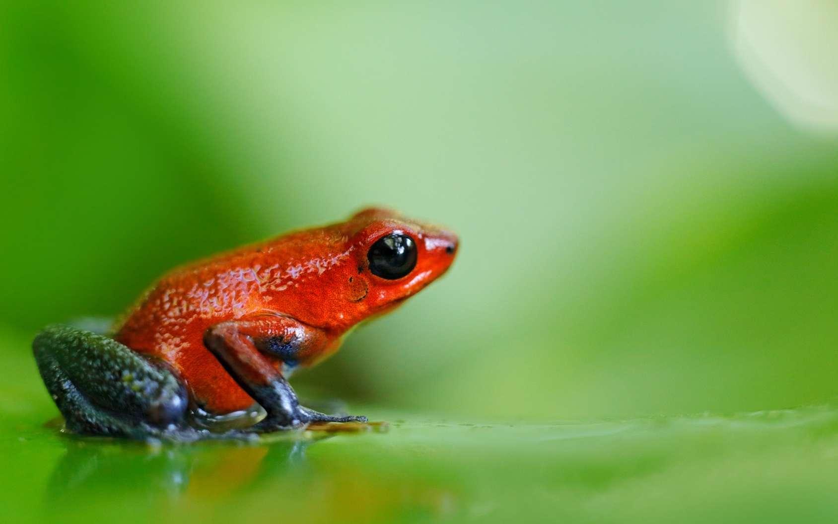 Genouille des fraises, Dendrobates pumilio, dans son milieu naturel au Costa Rica. © ondrejprosicky, fotolia