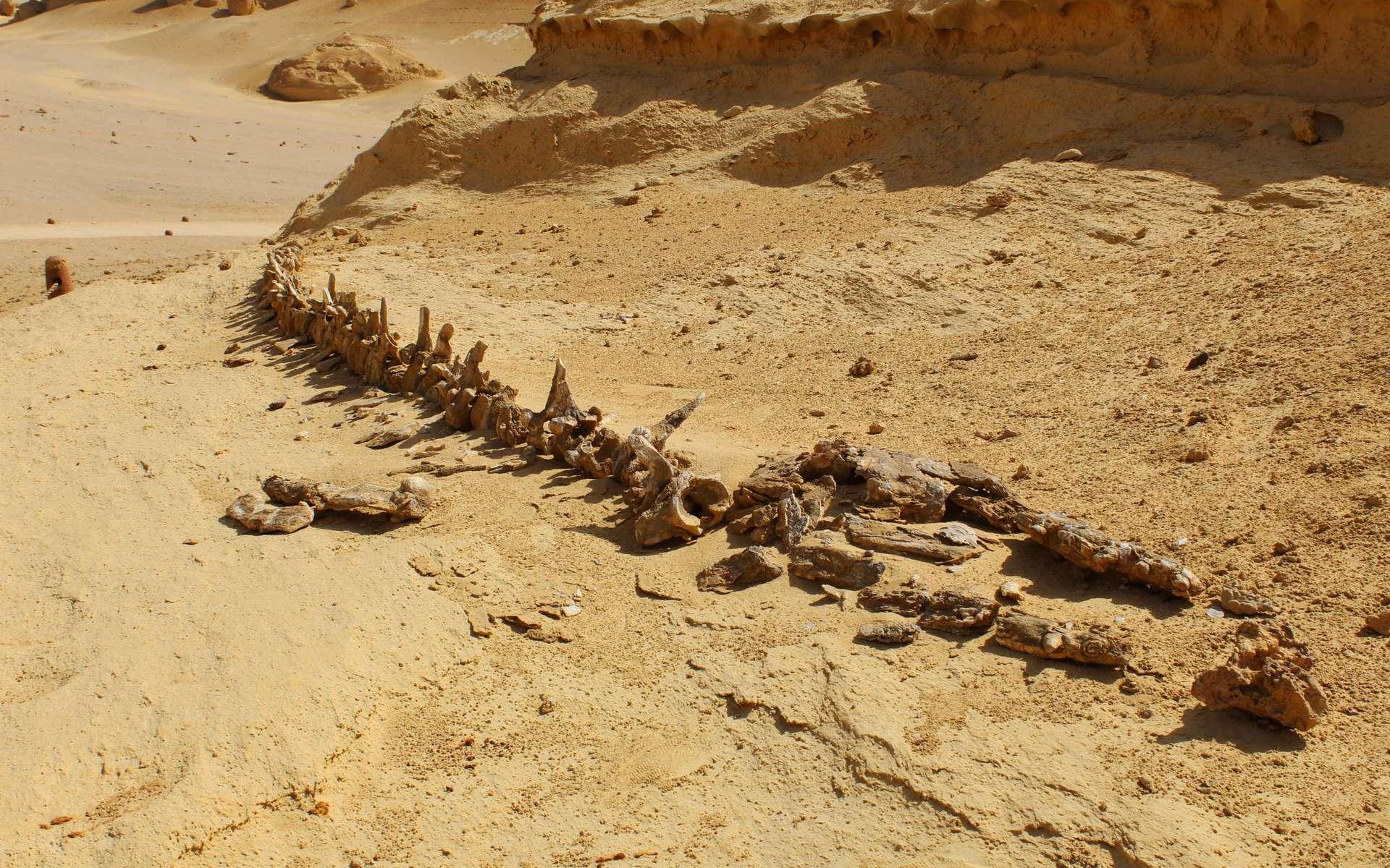 Les fossiles de mammifères marins dans les déserts attestent de la submersion de ces zones par les eaux au cours du temps profond. © Ahmed, Adobe Stock