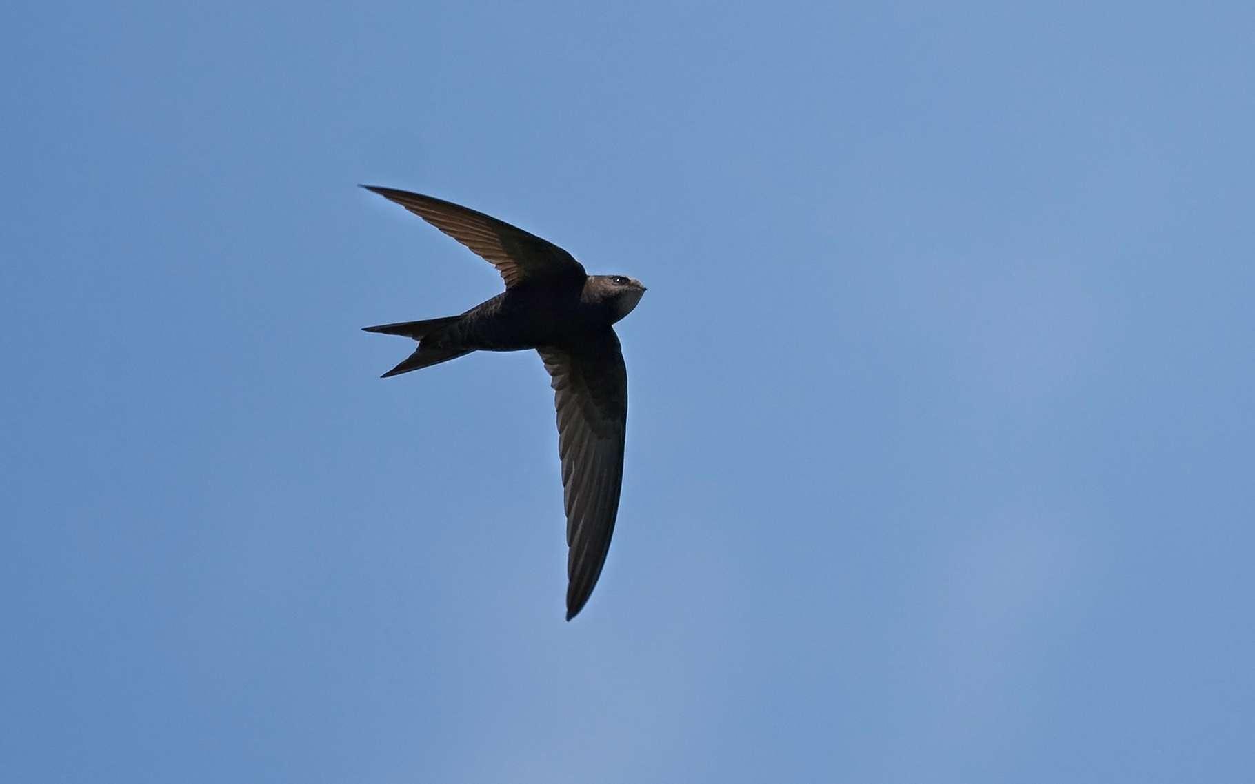Le martinet noir est le seul oiseau connu soupçonné de dormir en volant. © Sokolov Alexey, Shutterstock