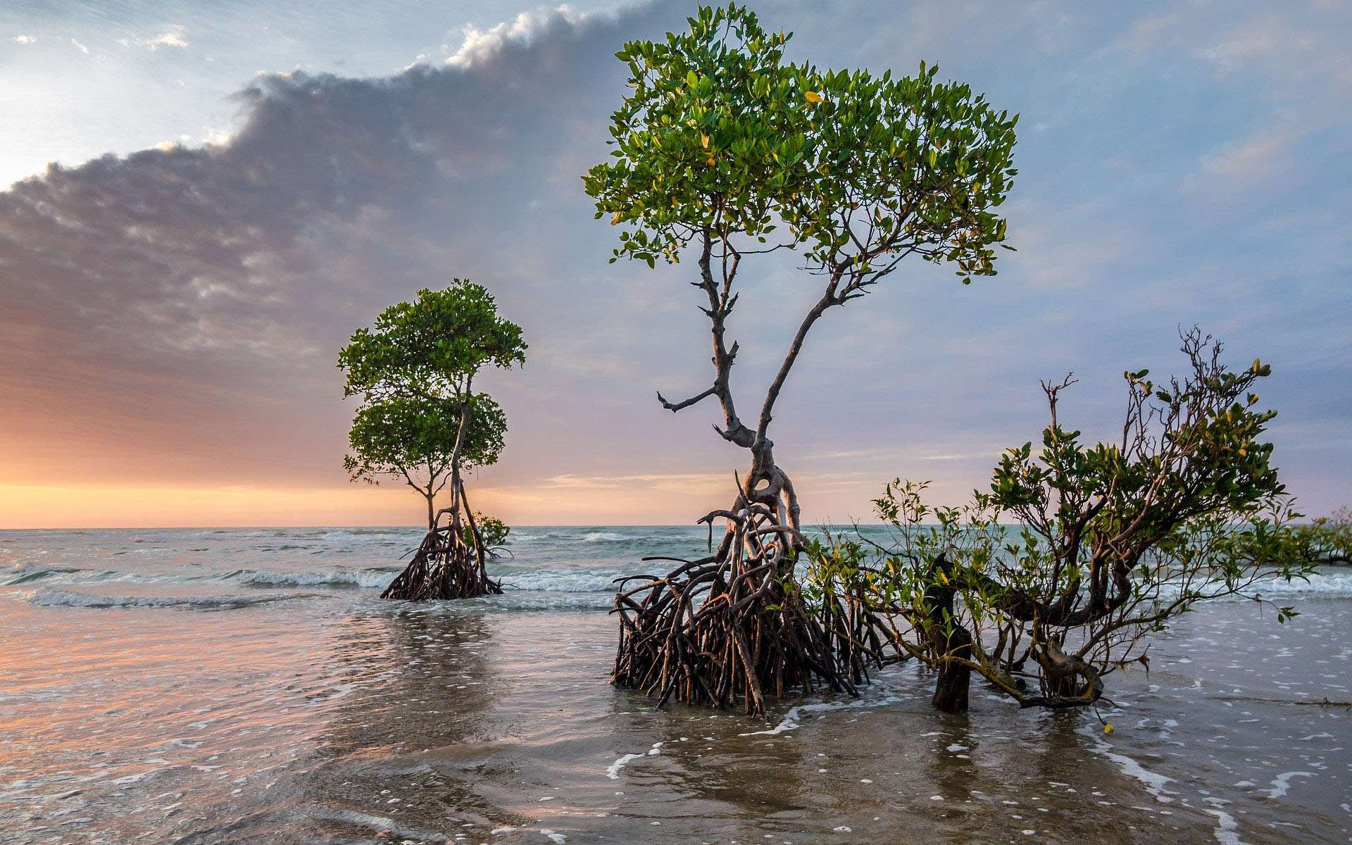La mangrove, c'est ce paysage étonnant s'il en est. Où l'on voit des arbres littéralement sortir de l'eau. Avec leurs racines, ici mises à jour par la marée. Montrant une rage de vivre qui fait chaud au cœur.Ce biome des régions tropicales est fait de marais maritimes. Il est l'un des écosystèmes les plus productifs en biomasse de notre planète. Et il procure de nombreuses ressources aux populations locales. Mais, un peu partout dans le monde, la mangrove connait aujourd'hui une dégradation rapide. Elle aurait déjà perdu 25 % de son étendue naturelle. © Patjosse, Pixabay, DP