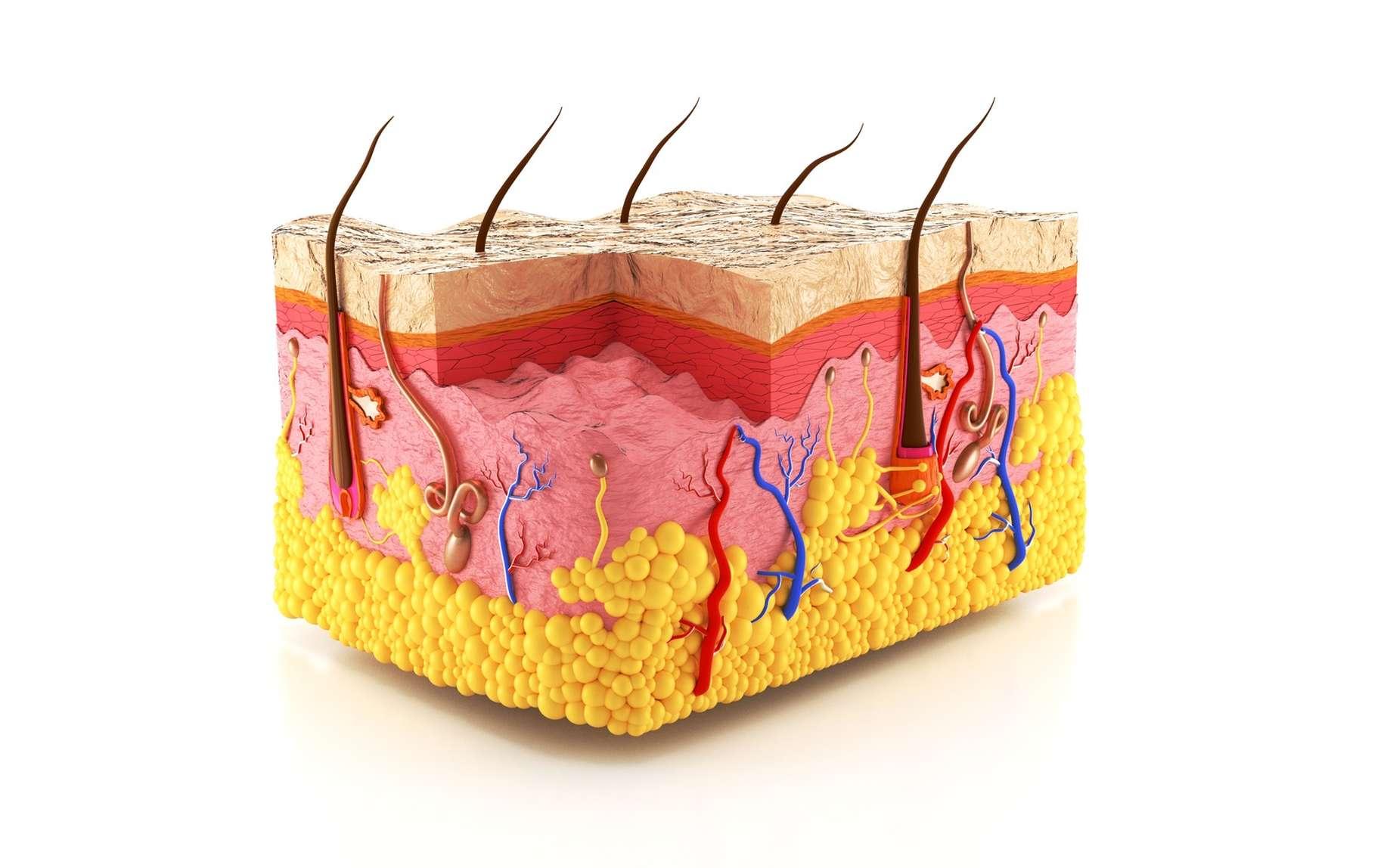 La peau comprend l'épiderme en surface et le derme en profondeur. © anton91815, Fotolia