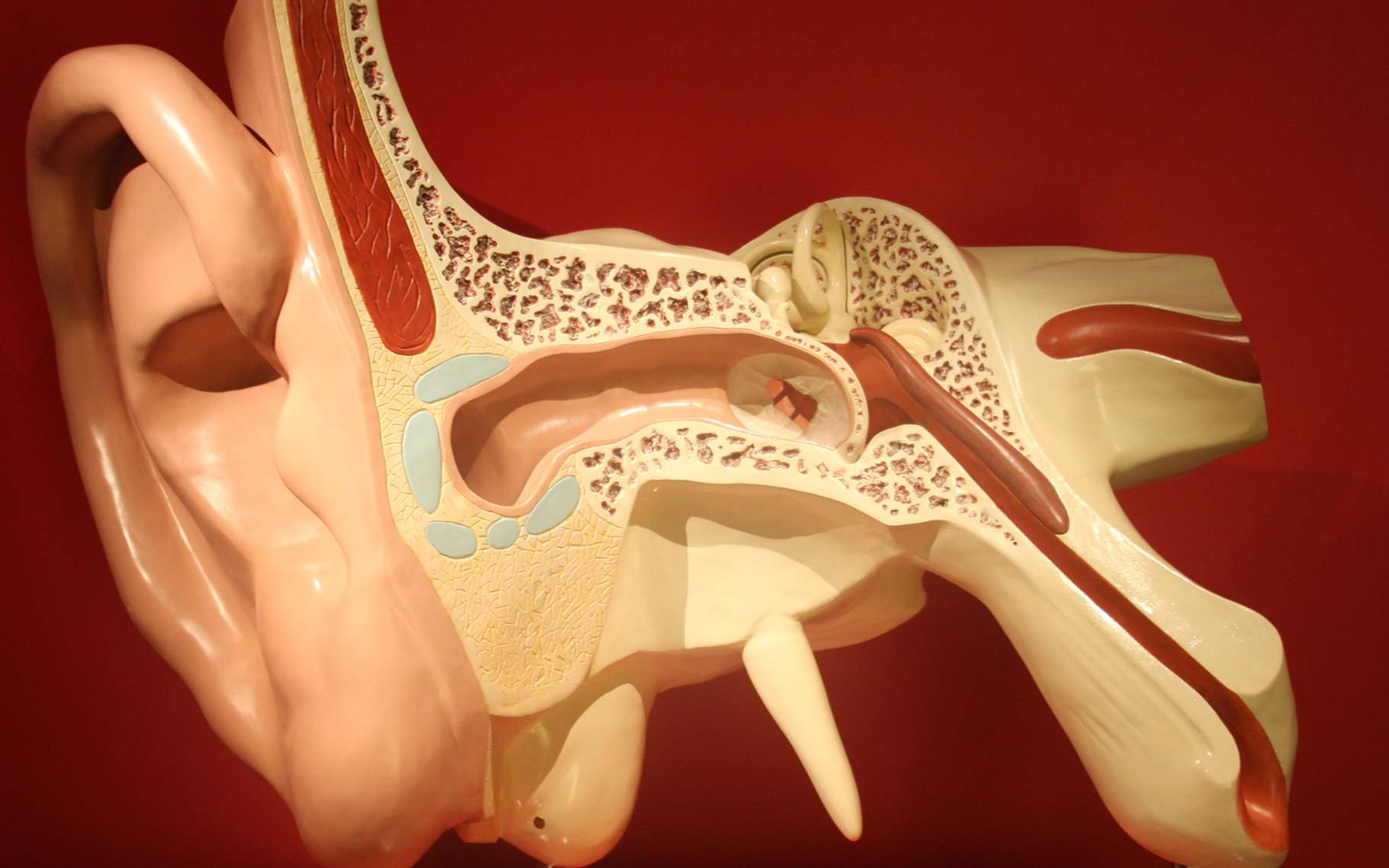 L'oreille, un capteur sophistiqué de variations de pression... © DR