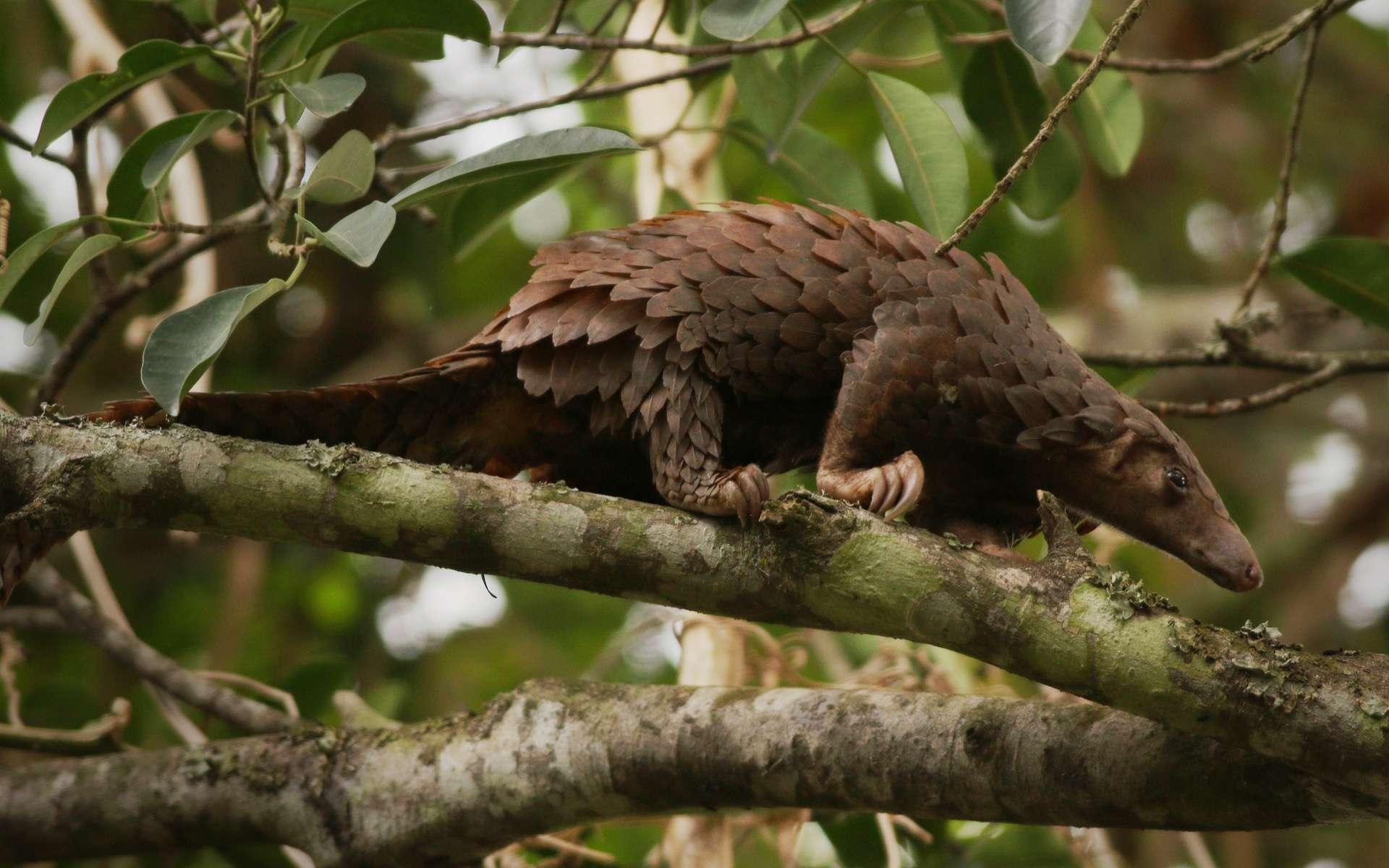 Un pangolin, l'espèce est en voie de disparition en raison du braconnage et de la perte de son habitat. © Jiri Prochazka, Adobe Stock
