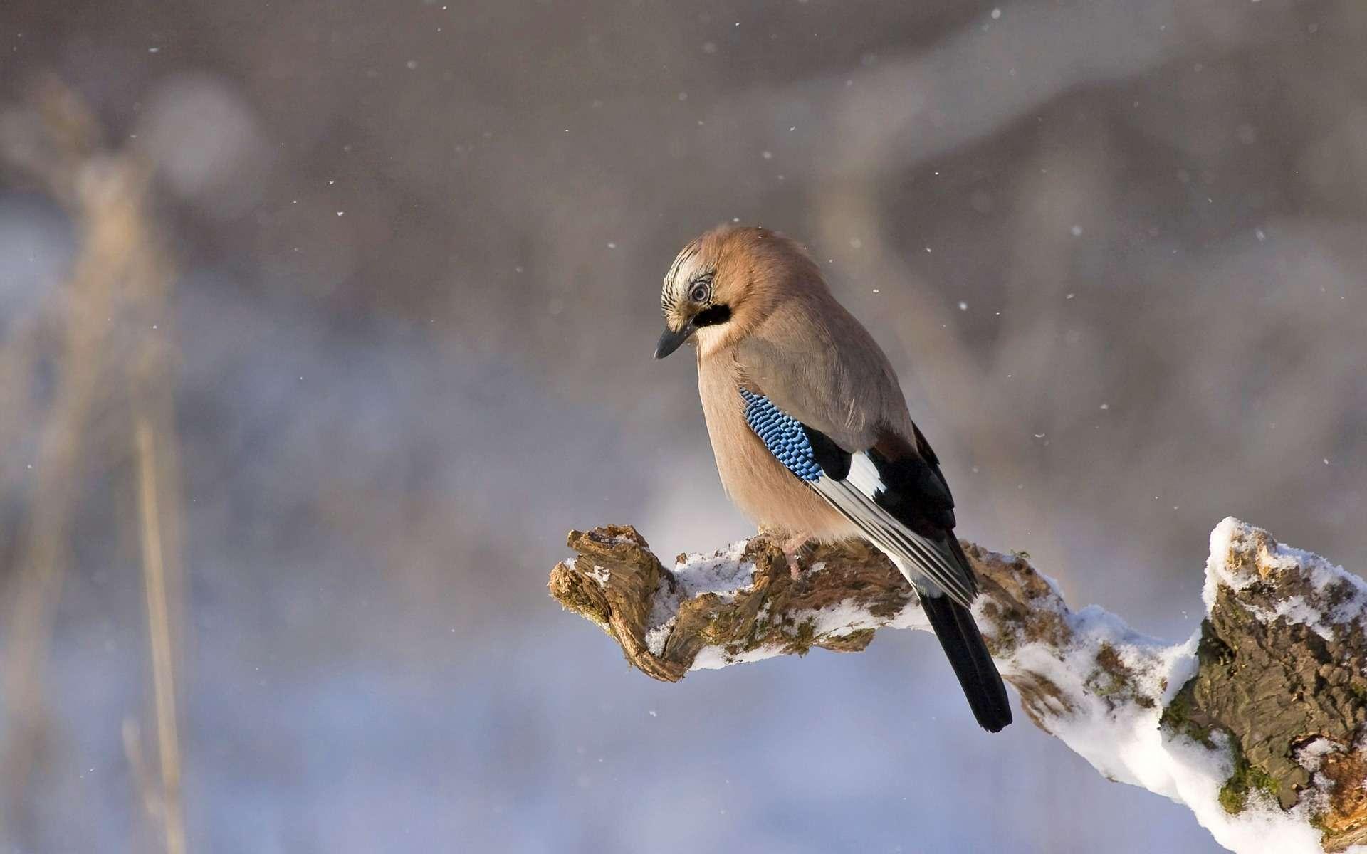 Avec l'application Twigle, il est possible d'identifier un oiseau à partir de son chant ou d'une photo, à condition qu'elle soit de bonne qualité. Ici, un geai. © TomaszProszek, Pixabay, DP