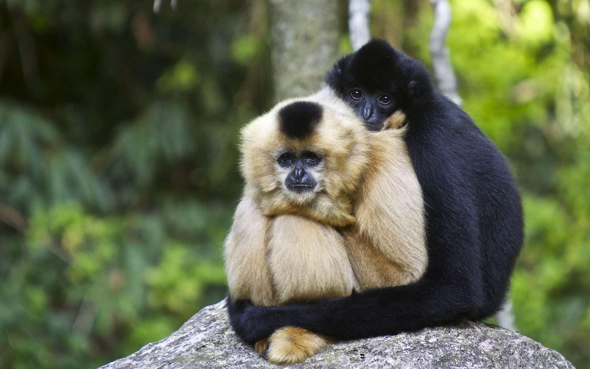 Les Hylobatidés sont une famille de singe qui regroupe toutes les espèces de gibbons. © Marcus, Adobe Stock