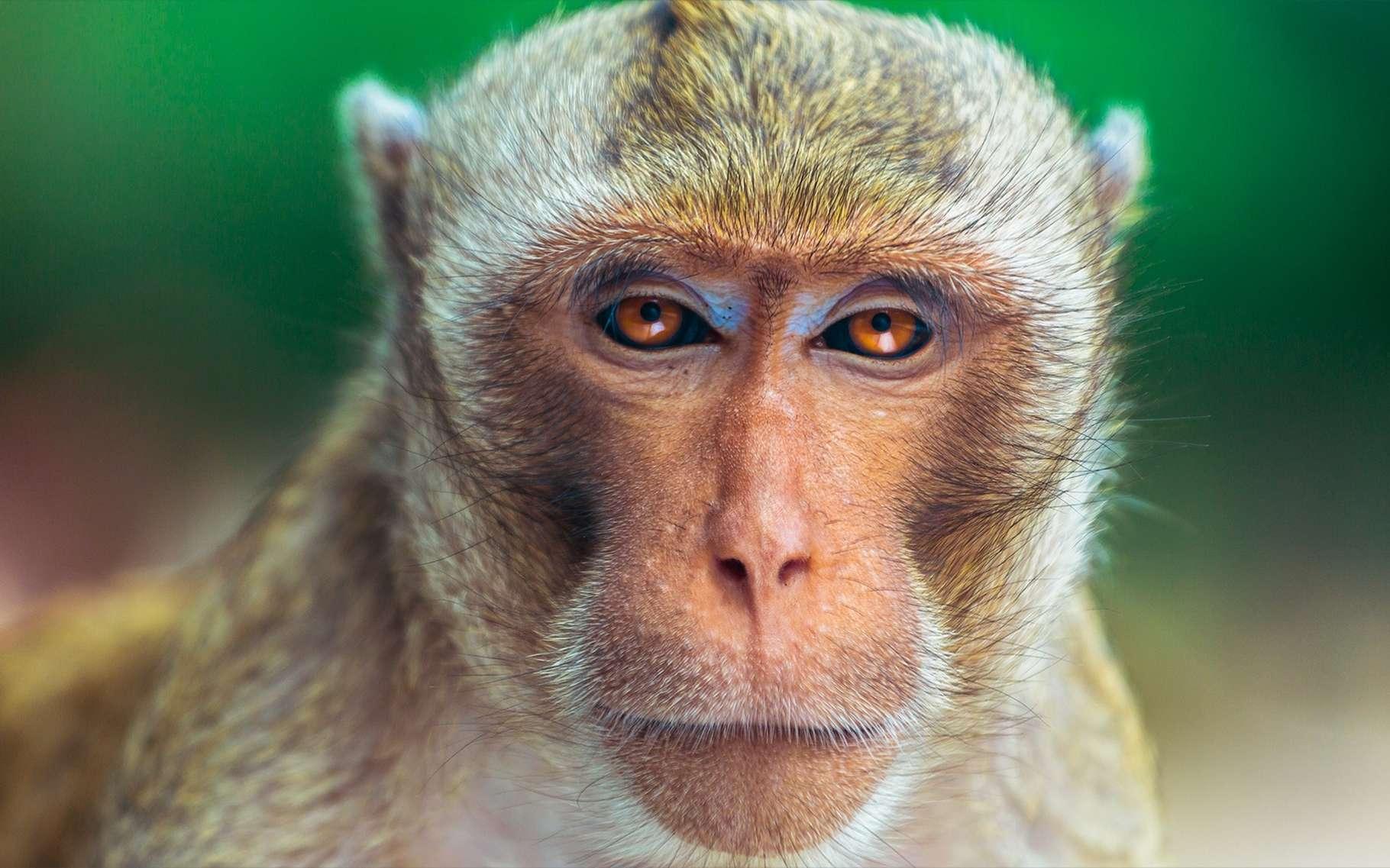 L'appareil vocal des macaques leur permettrait des vocalisations complexes, semblables à celles du langage articulé humain. C'est donc leur cerveau qui ne sait pas s'en servir. © Poul Riishede, Shutterstock