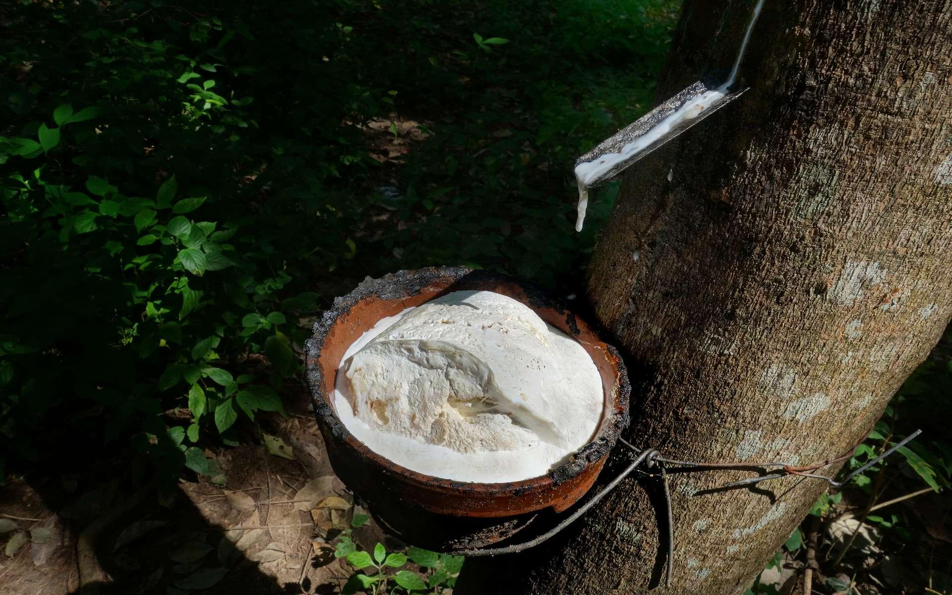 Le caoutchouc, issu de la sève de l'hévéa, est une espèce chimique naturelle. © Urs Achermann, Flickr, CC by-nc 2.0
