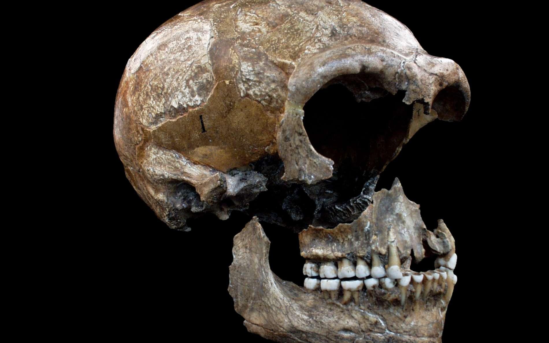 L'homme de Néandertal aurait vécu en Europe et en Asie de -120.000 à -30.000 ans avant notre ère. Sa taille moyenne devait être comprise entre 1,55 et 1,65 mètre. Il fabriquait des outils et maîtrisait le feux. On voit ici un crâne faisant partie des trois squelettes fossiles partiels appartenant à l'espèce Homo neanderthalensis découverts dans la grotte de Spy dans la province de Namur, en Belgique. Les deux premiers squelettes, mis au jour en 1886, constituèrent la deuxième découverte officielle de fossiles néandertaliens après celle de la vallée de Néander, en Allemagne. L'Homme de Spy, comme on l'appelle parfois, avait un régime carné et végétarien. © Patrick Semal, Institut des Sciences naturelles de Belgique.