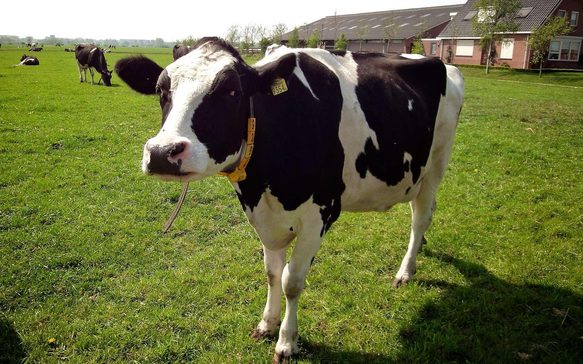 Les vaches laitières de race Holstein ont des taches noires qui absorbent le chaleur. © E. Dronkert, Flickr