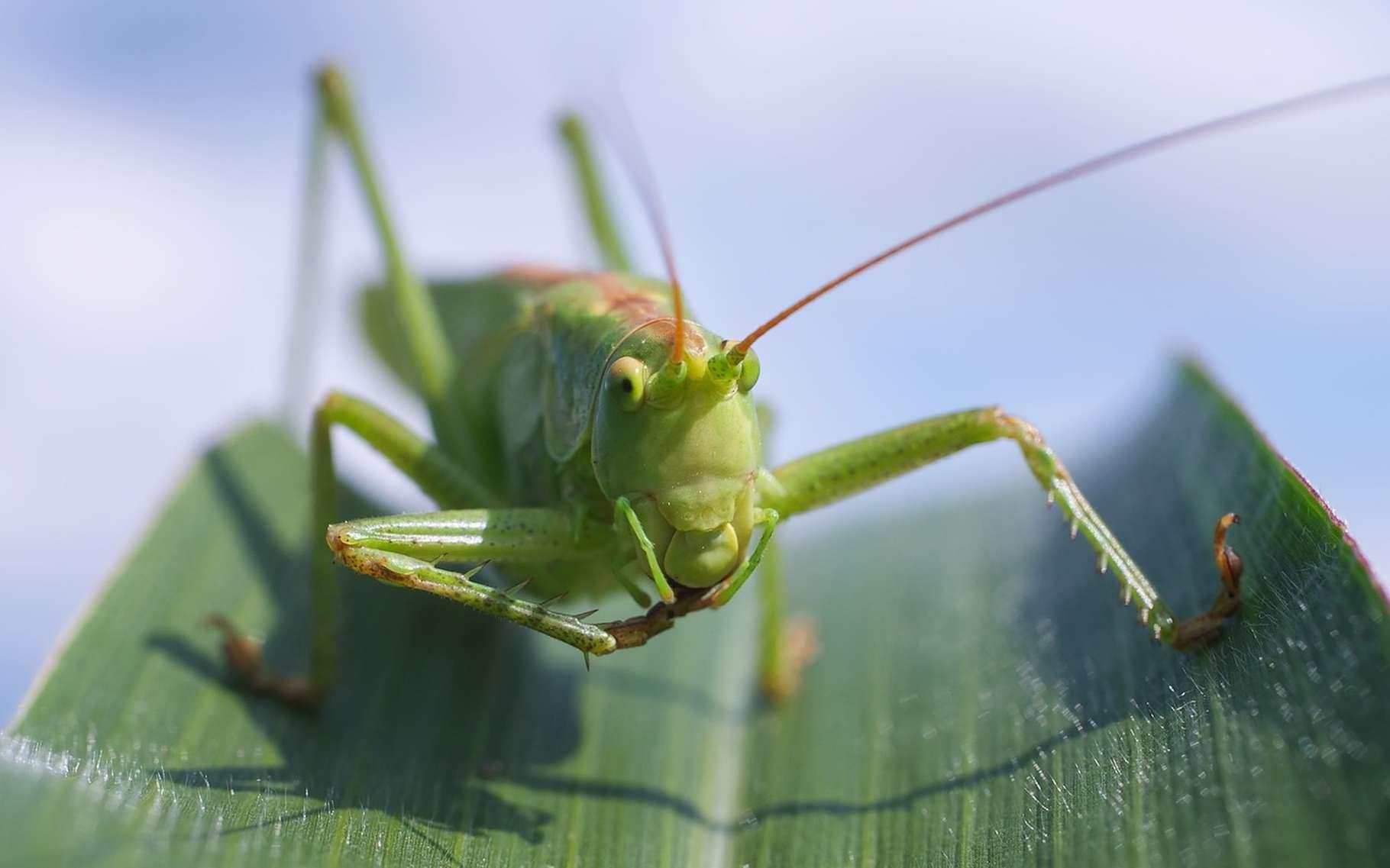 Les sauterelles sont munies de longues antennes et, contrairement aux grillons, leur corps peut être vert. © realworkhard, Pixabay, DP