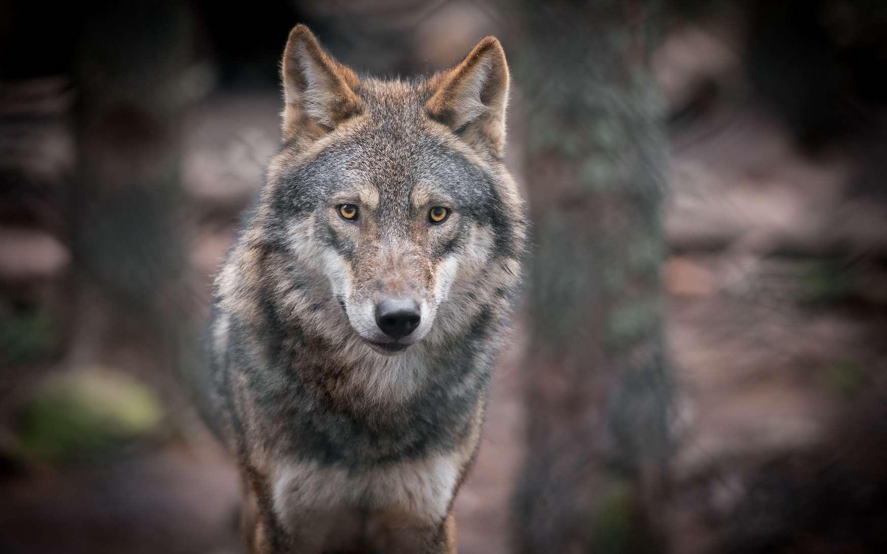 Les loups du parc à loups du Gévaudan s'ébattent sur 20 hectares, dont 7 sont ouverts aux visiteurs. © Vjaceslavs, fotolia