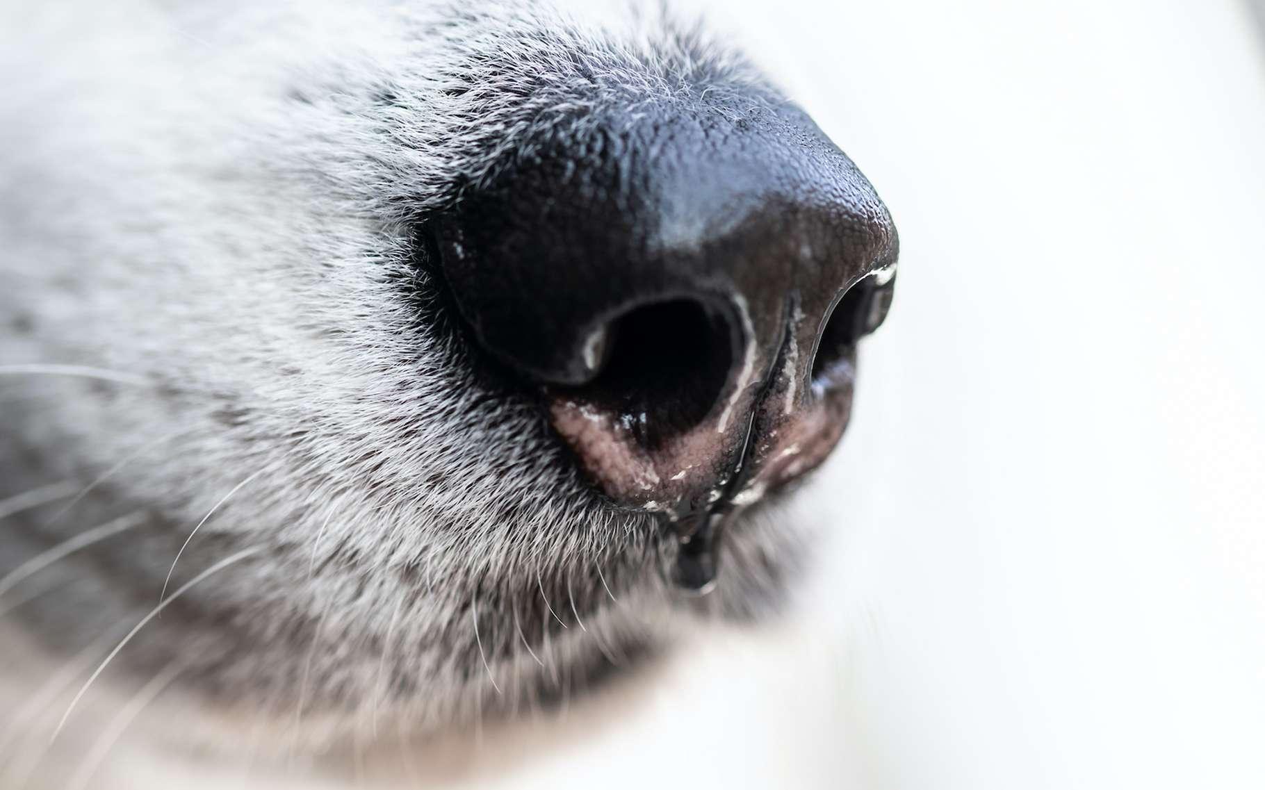 Des chercheurs ont entraîné des chiens à repérer par le flair, les patients atteints du coronavirus. © Artem Orlyanskiy, Adobe Stock