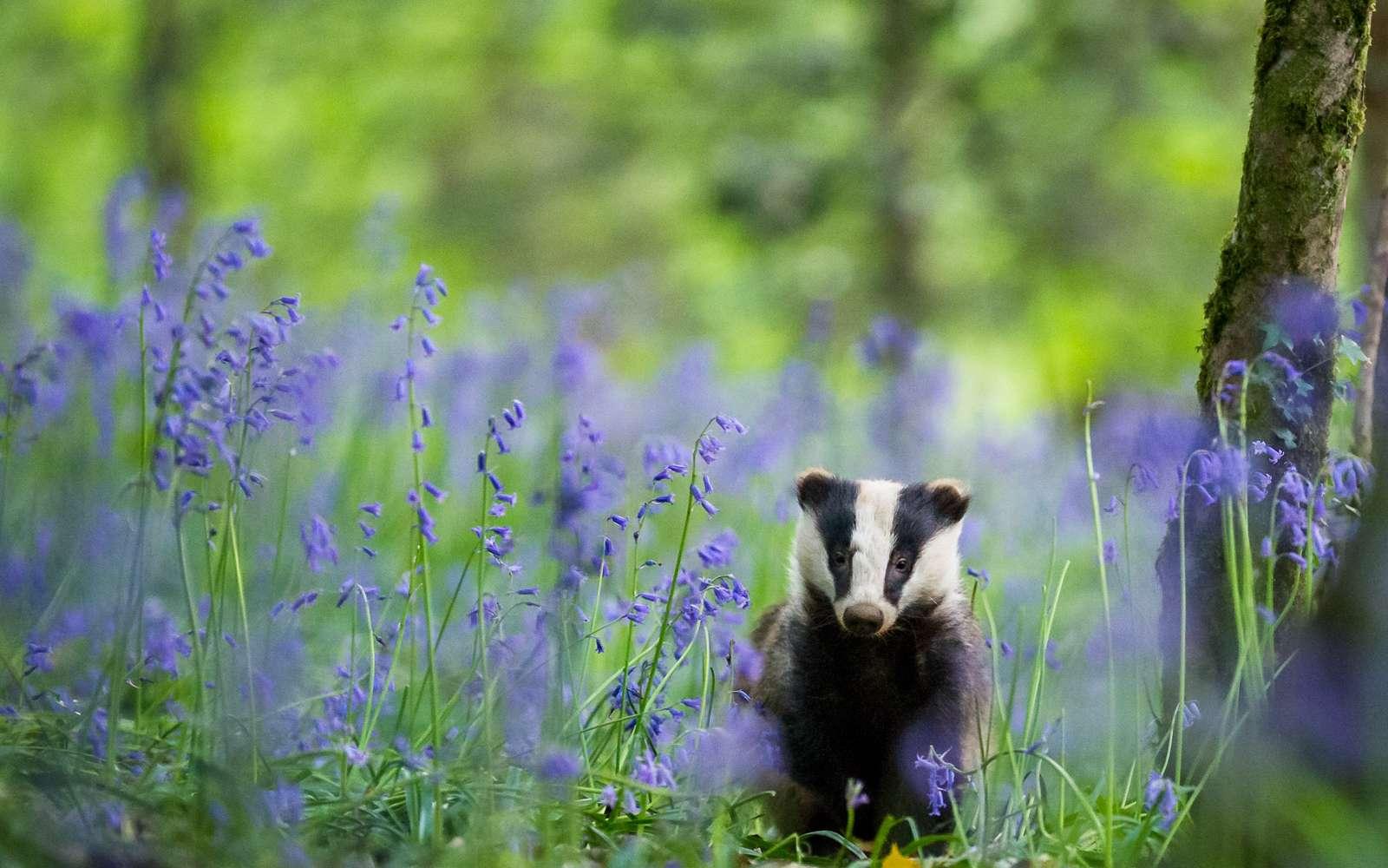 Badger Blues, une des photos gagnantes du concours Nature TTL Photographer of the Year 2020. © Nature TTL, Dave Hudson